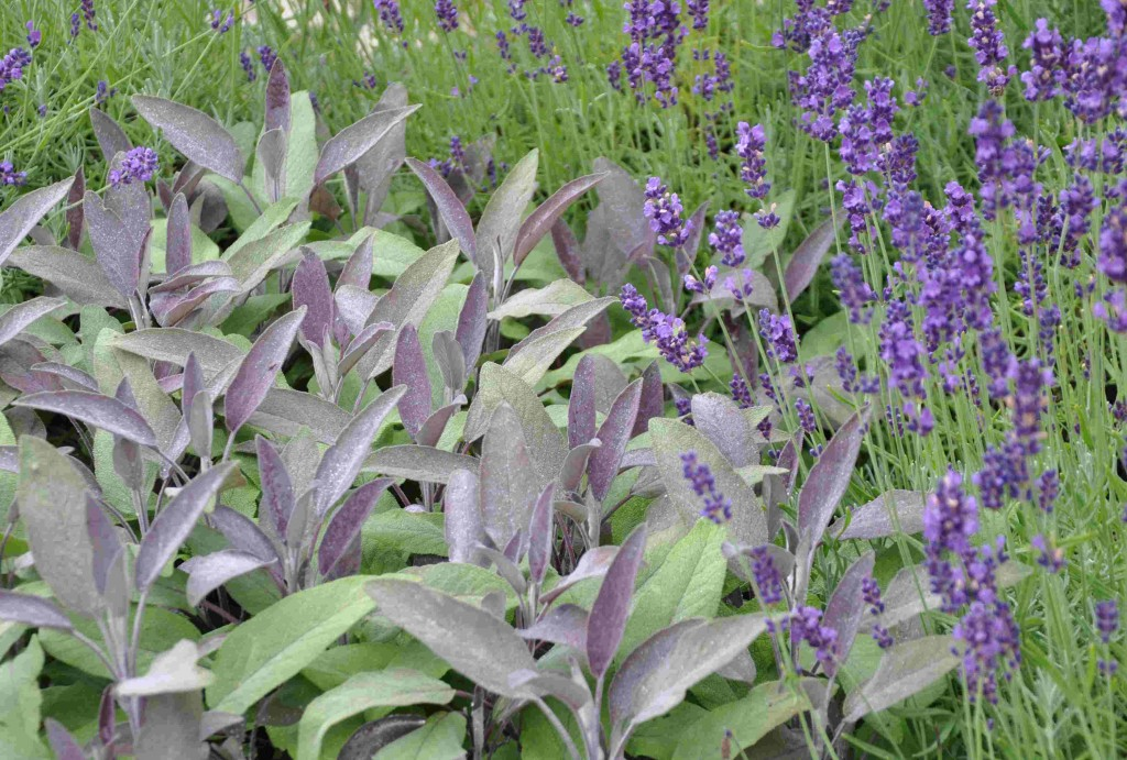 Lavendeln gör sig bra ihop med kyliga färger som salvians blekblå blad.