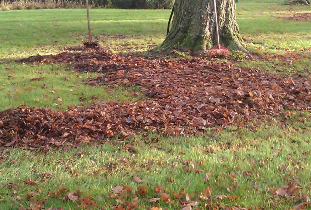 Samla upp lövet och lägg under buskar eller i komposten.