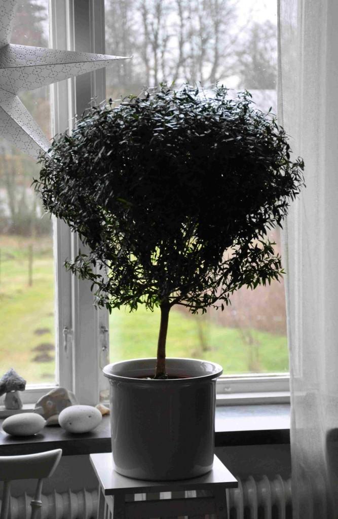 Myrten formar lätt ett litet träd.