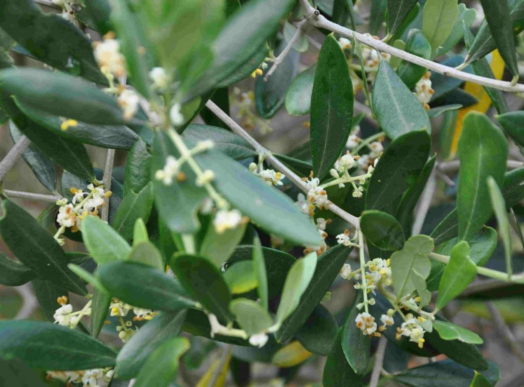 Olivträdet blommar rikligt under sommaren om det fått sig en liten köldknäpp under vintern.
