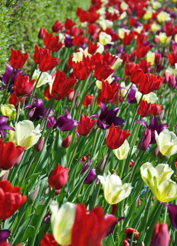 Tulpaner i blandade färger kan bli en effektfull rabatt.