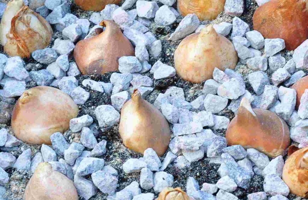 Tulpanlökar går utmärkt att plantera in i november.