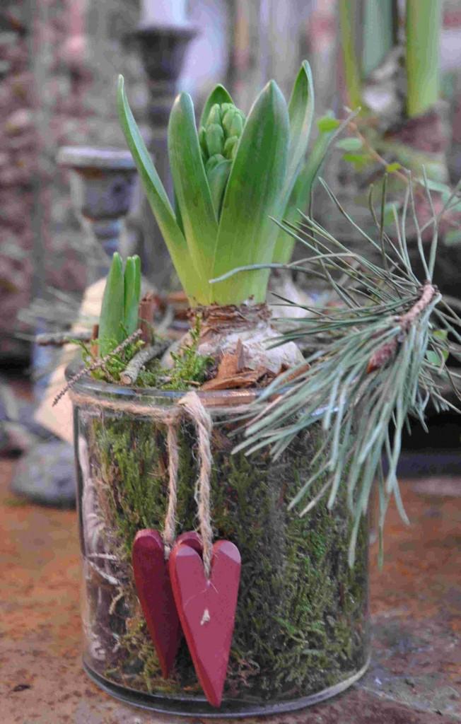 Hyacinten kan drivas i blom planterad i jord eller i vattenglas.