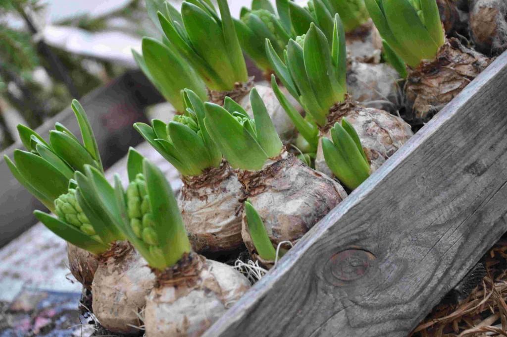 Hyacinterna är julens mesta lökväxt, med eller utan doft.
