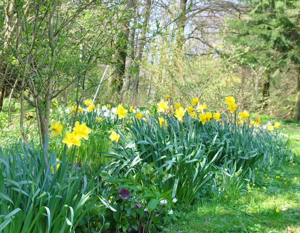 Narcisser är återkommande växter år från år.