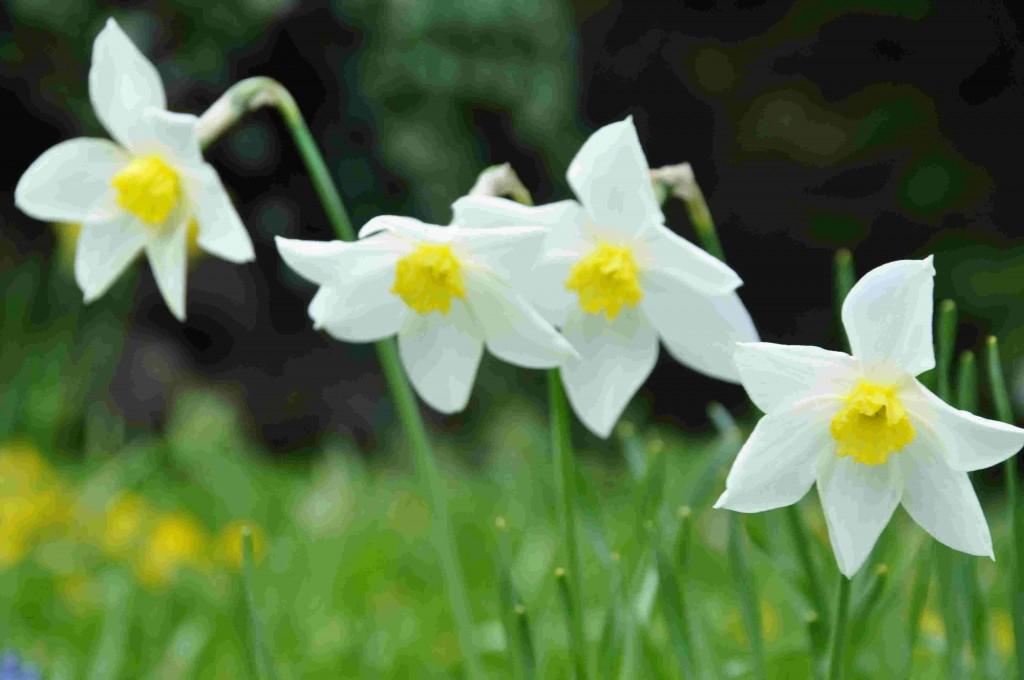 Narcisserna är tacksamma lökväxter att förvilda.