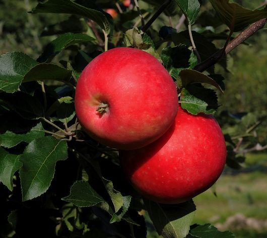 Nya äpplesorter introduceras på marknaden. Agnes är en mycket lovande sort.