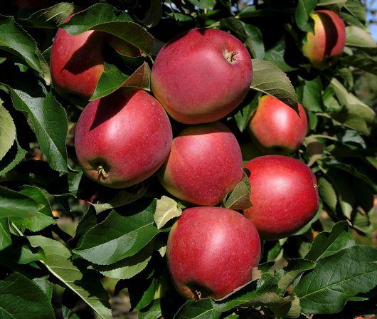 Äpplet Folke mognar sent och tål lång lagring.