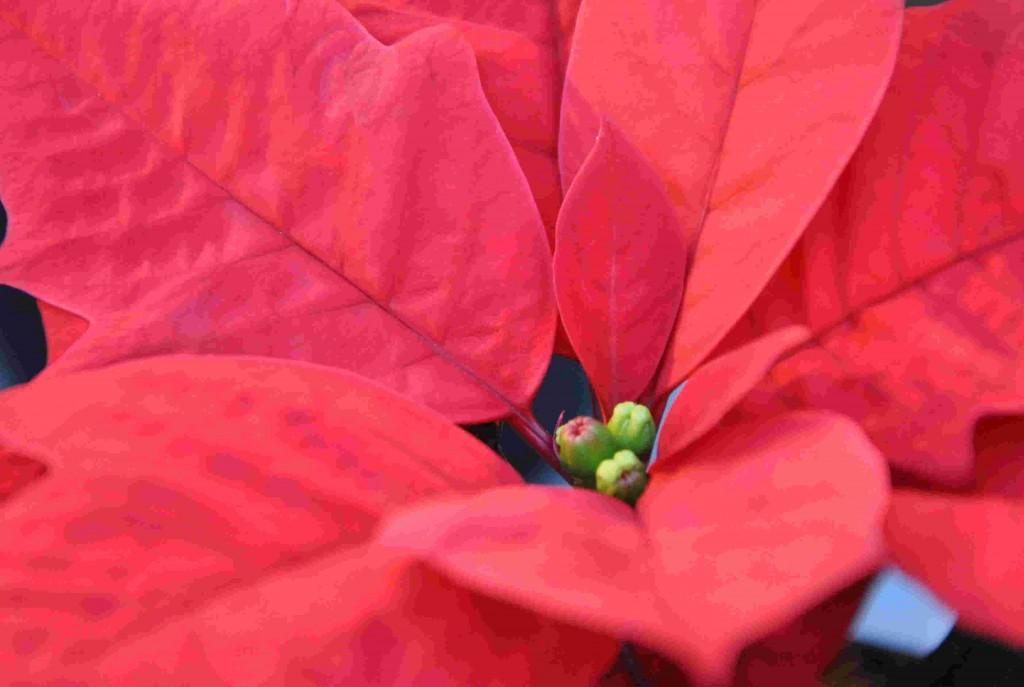 Julstjärnans blommor sitter mitt inne bland de färggranna högbladen.