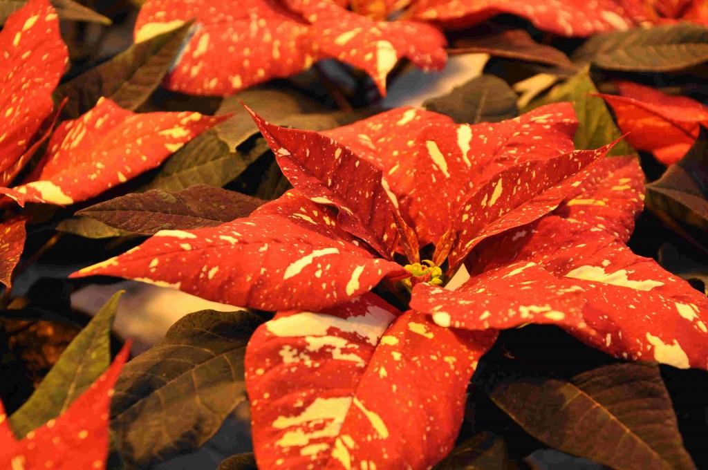 Julstjärnorna finns i många färger och även brokigt.