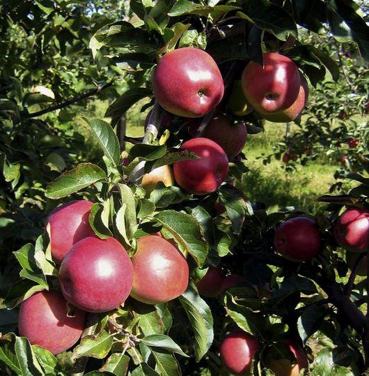 Äpplet Lovisa passar den som får ont i magen av äpplesyra.
