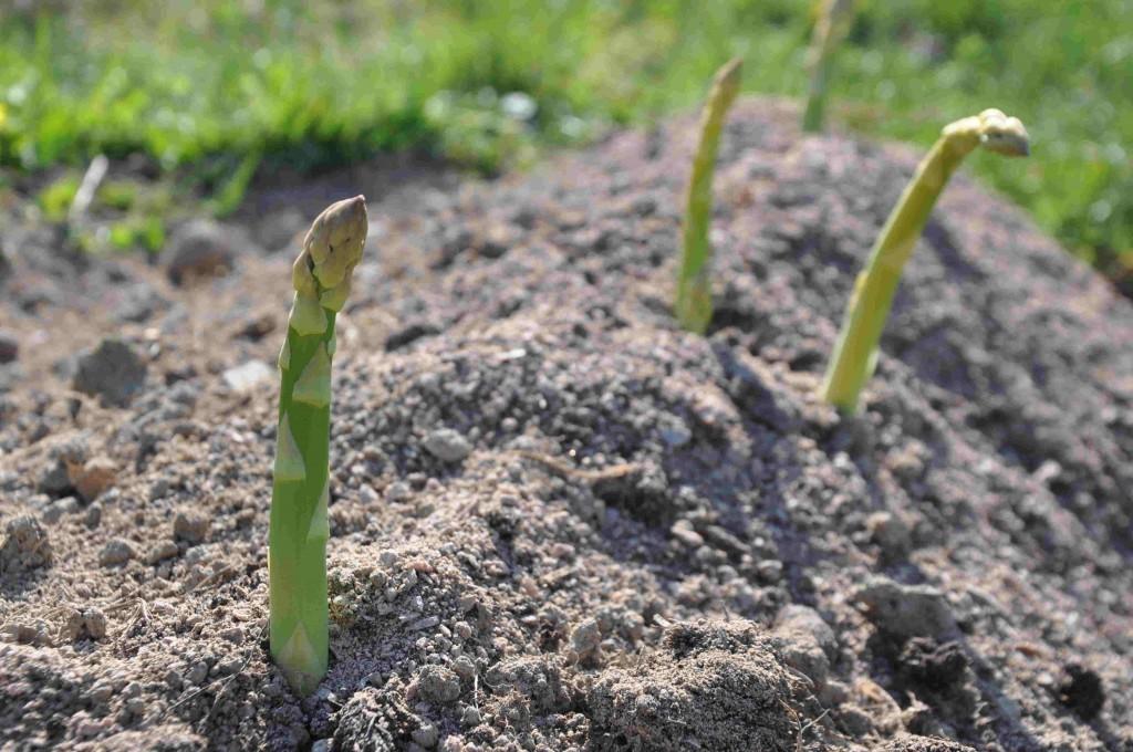 Sparrisodlingar ligger på sandiga marker.