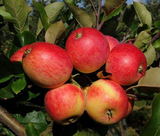 Äpplet Trulsa har en söt och god smak, men kort hållbarhet.