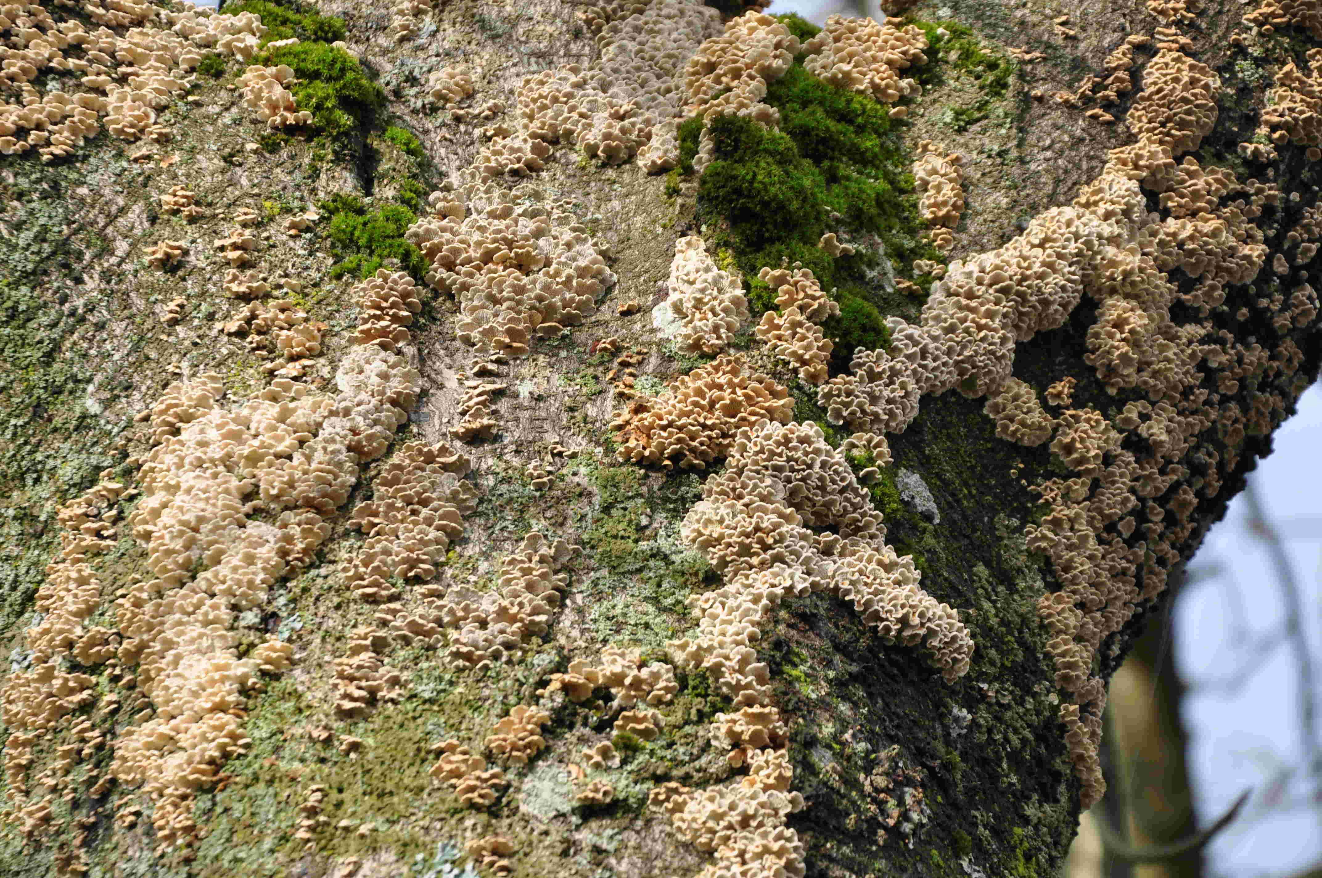 Olika typer av svampar har etablerat sig i den försvagade veden.