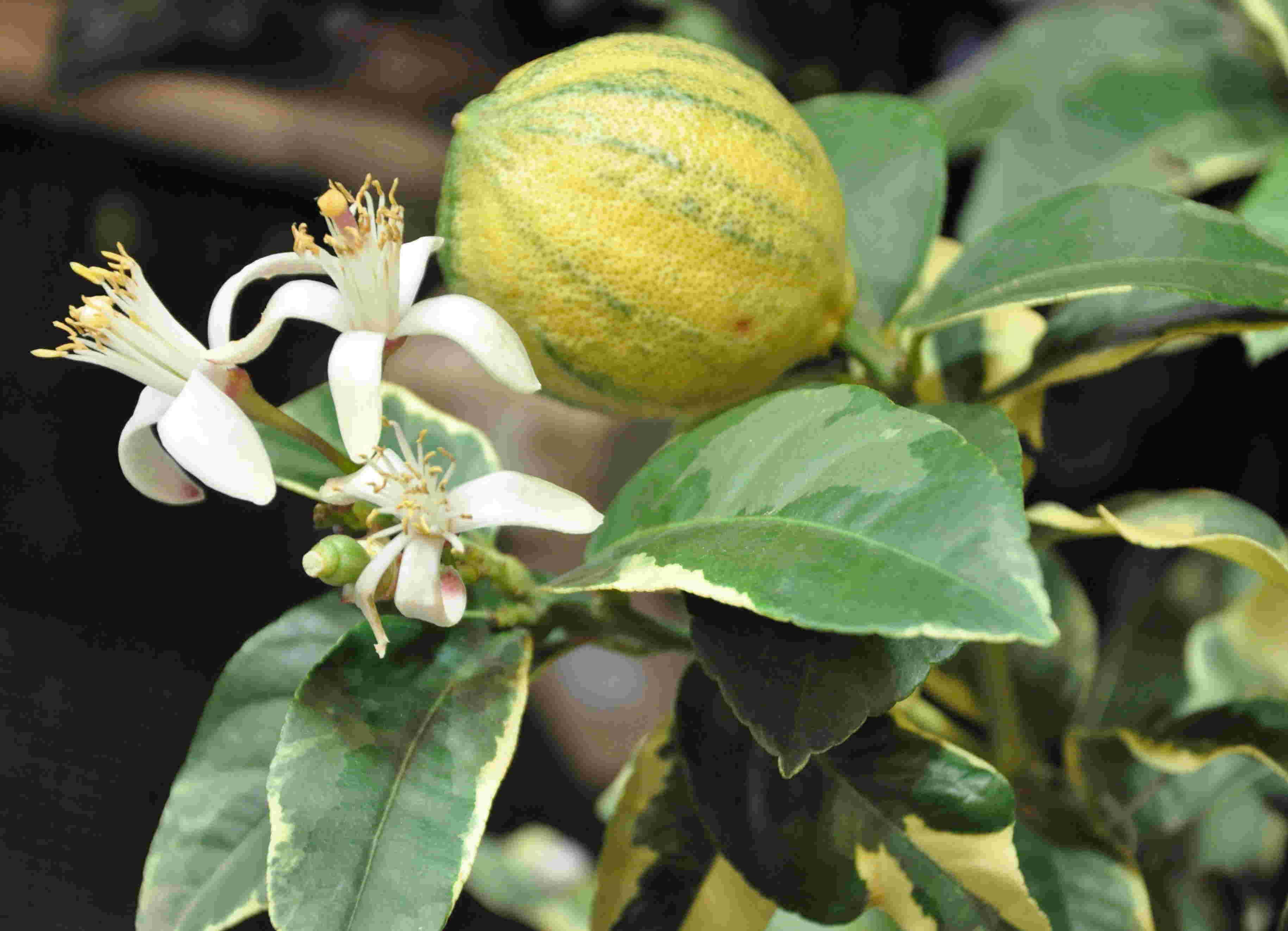 Citrusplantor ska förvaras svalt inne om vintern.