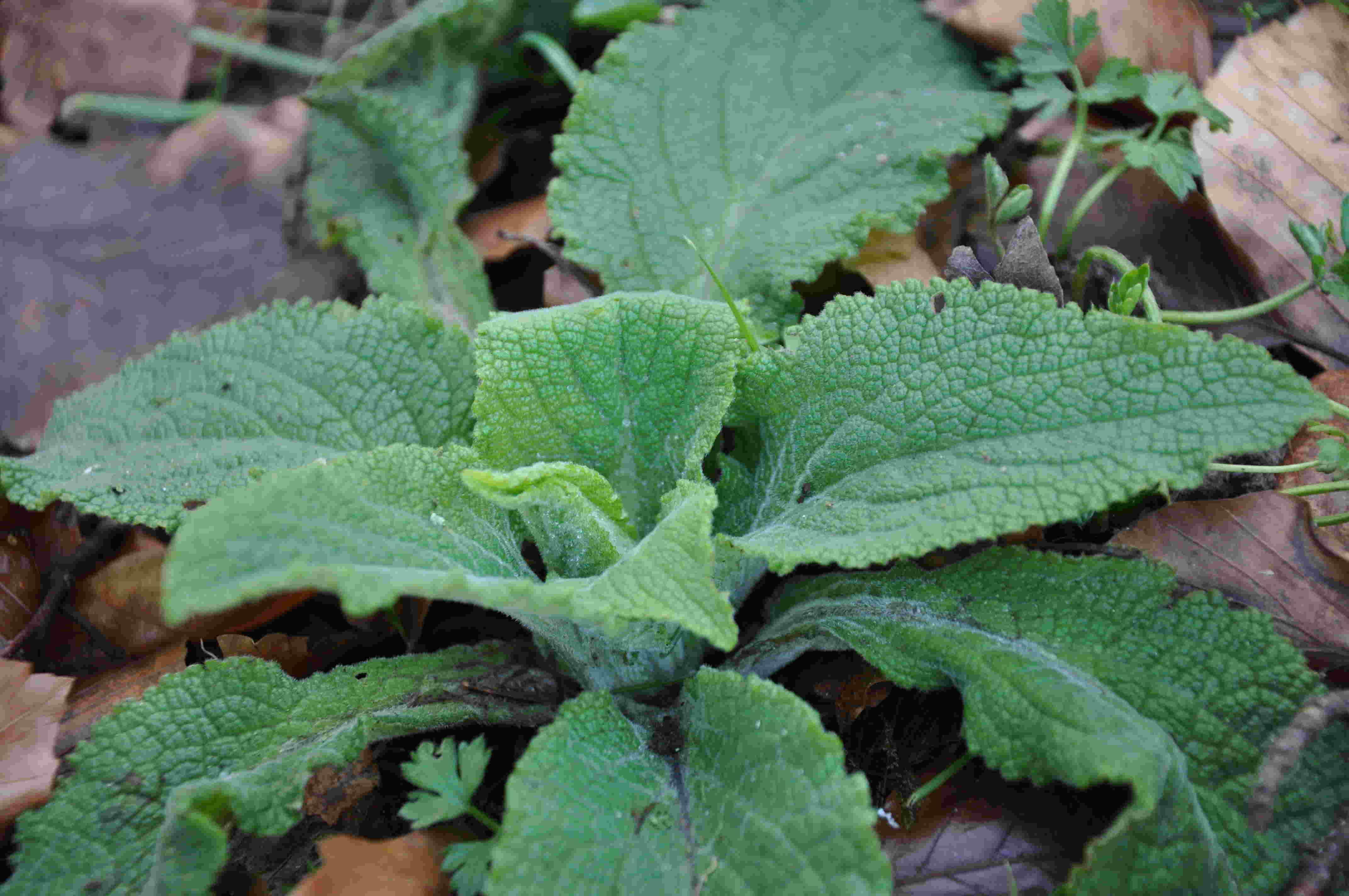 Fingerborgsblomman är en tvåårig bienn växt.