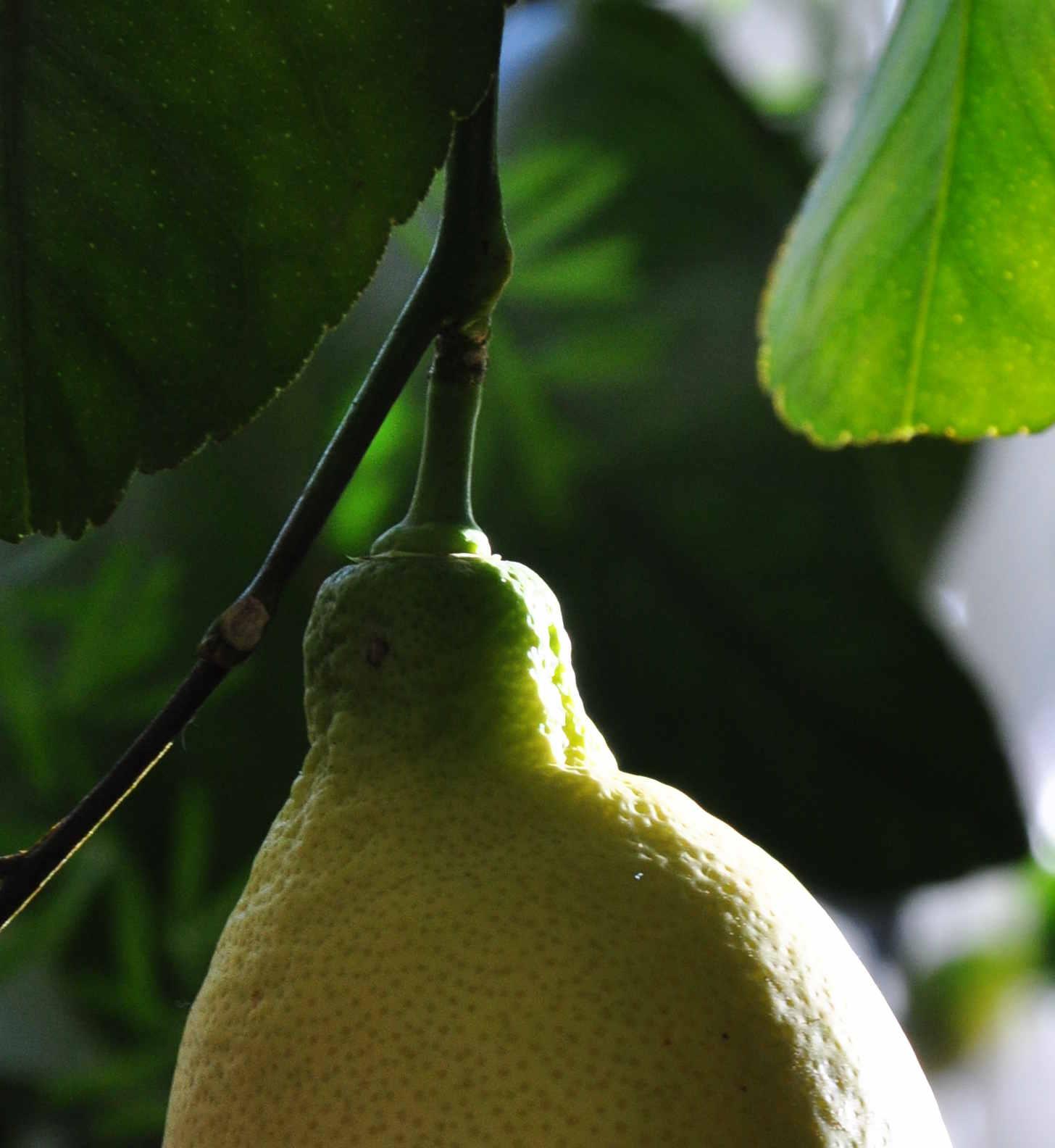 Citronplantan kräver mycket ljus och näring hela året.