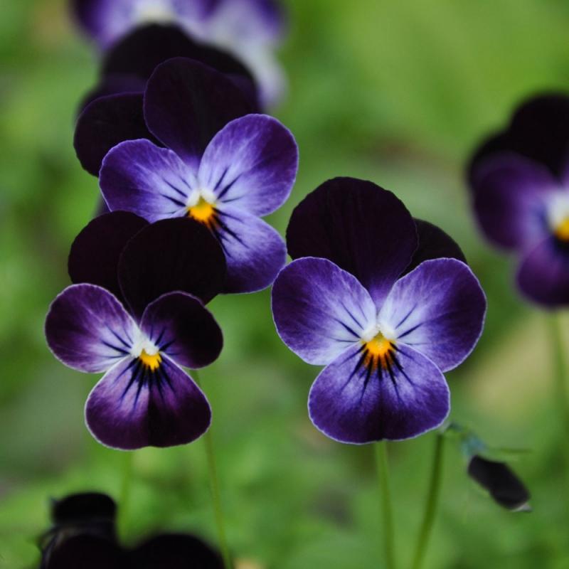 Minipenséer räddar våren då de är de första utplanteringsväxterna.