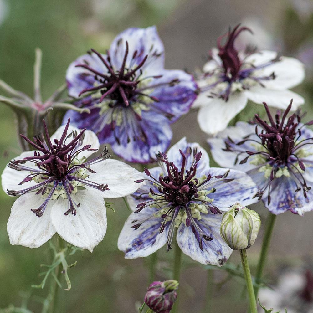 Nigella är en bra biväxt som innehåller mycket nektar för insekter.