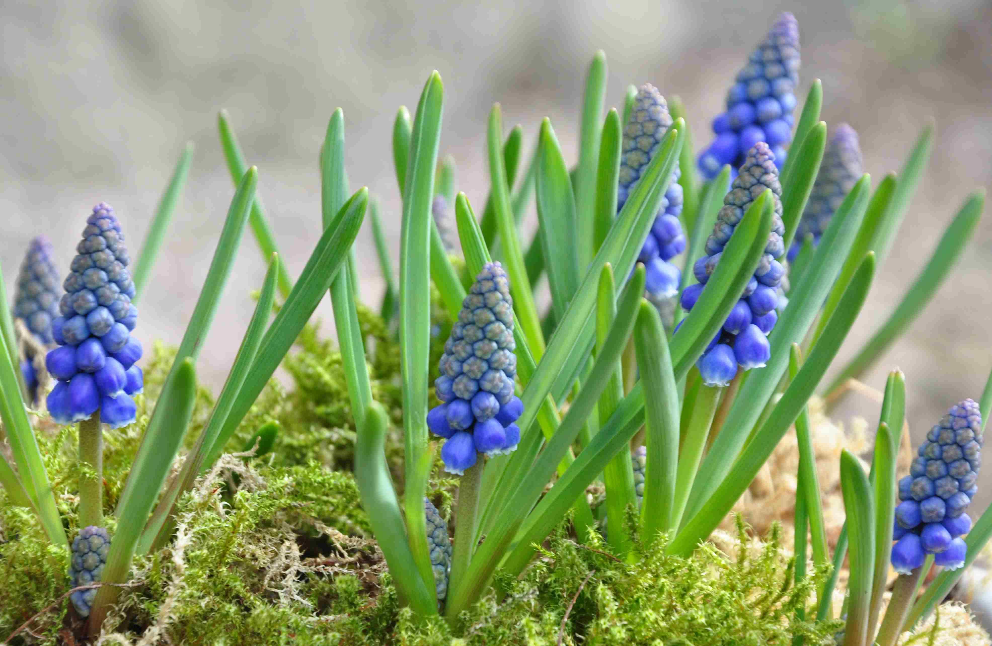 Pärlhyacinten är en tacksam vårblomma som återkommer vår efter vår från sin lilla lök.