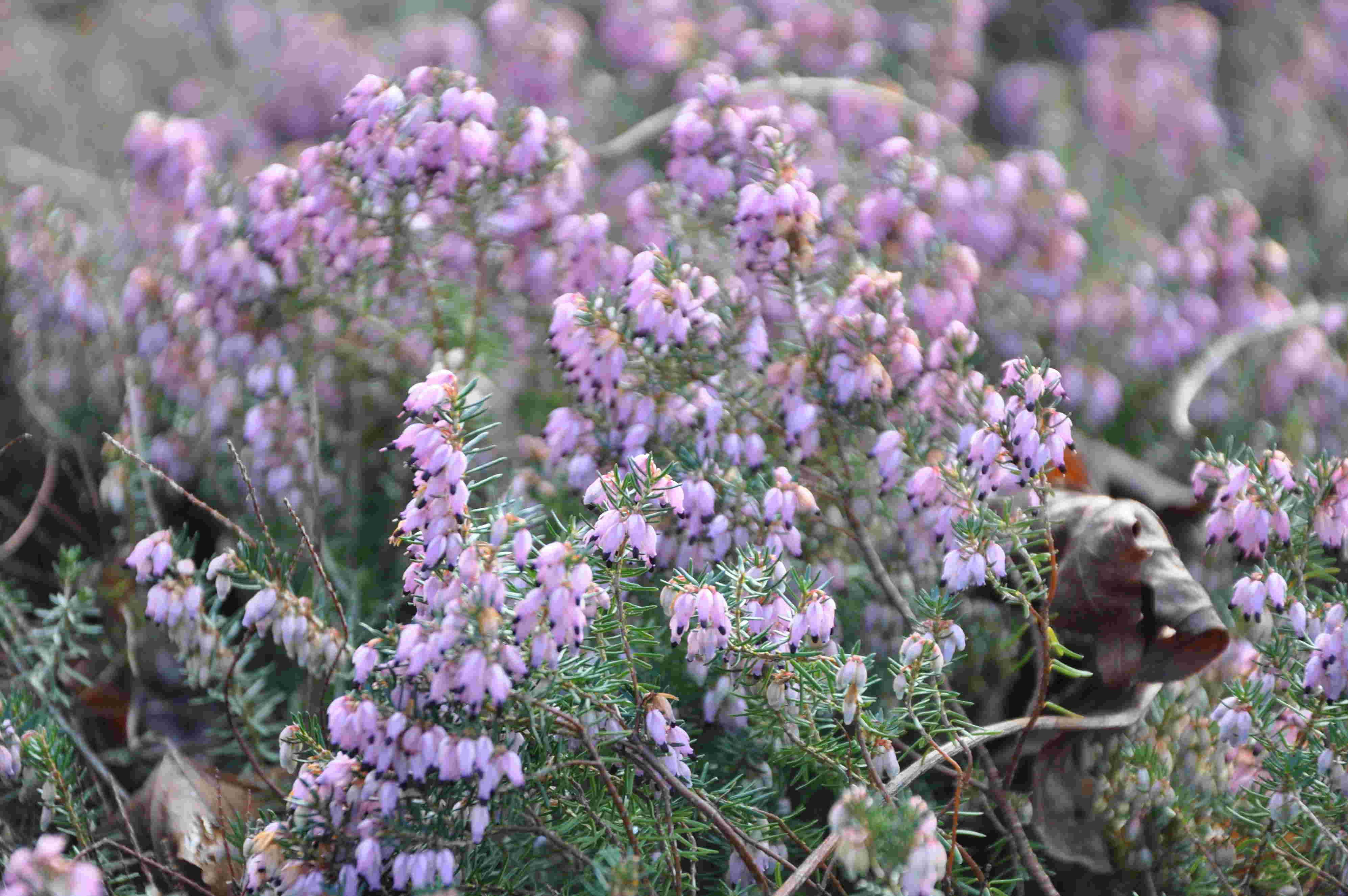 Ljungväxter trivs i sur jord med lågt pH.
