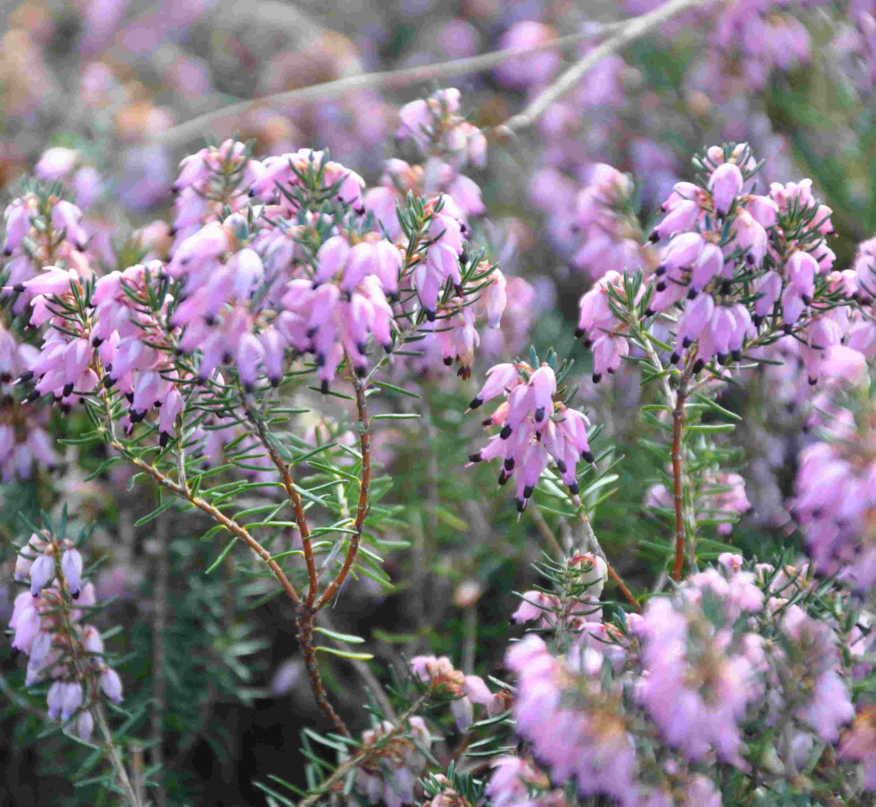 Vårljungen har en tidig vinterblomning, men skadas lätt av barmarksfrost.