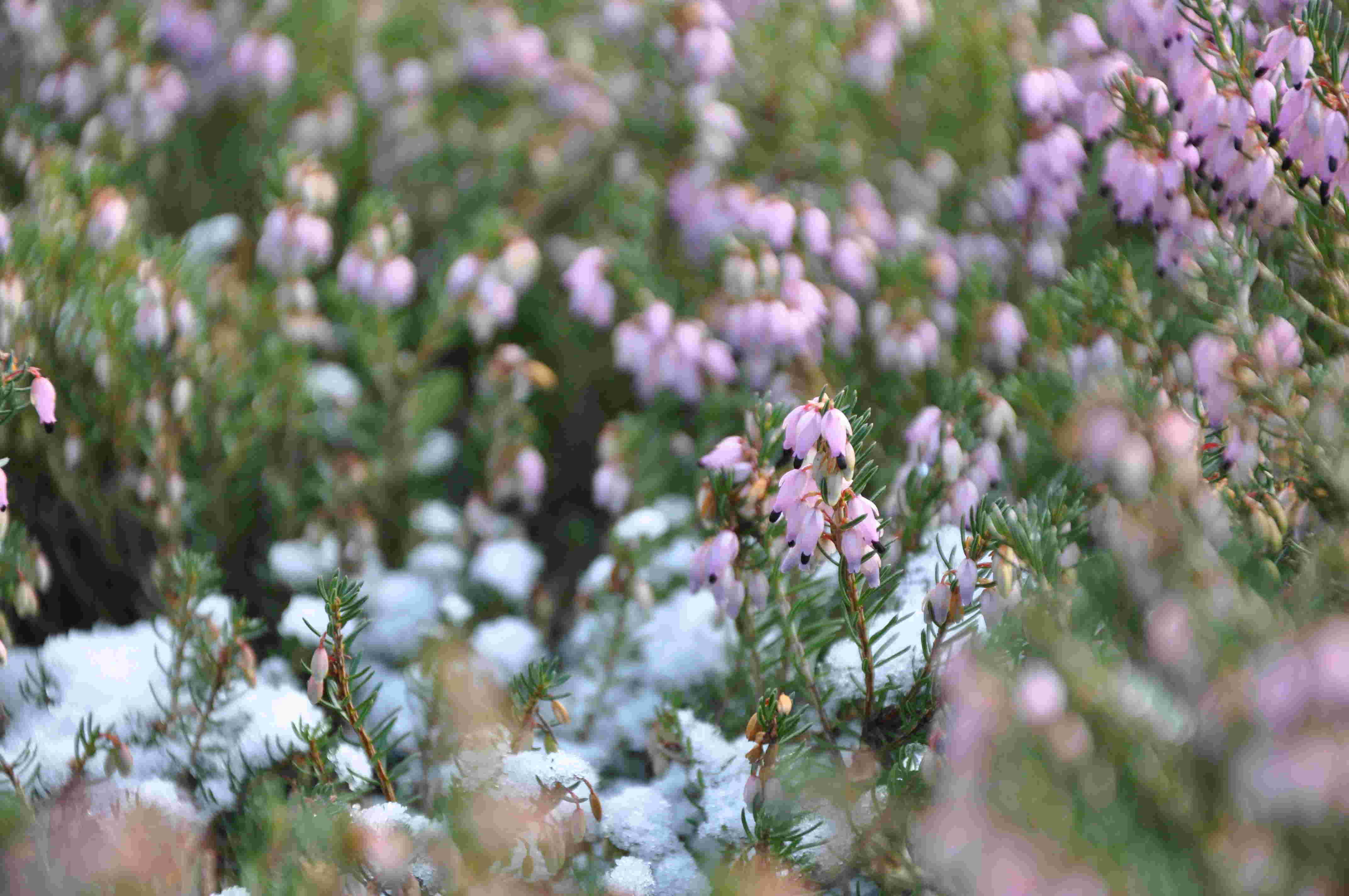 Vinterblommande ljung piggar upp med tidig blomning.
