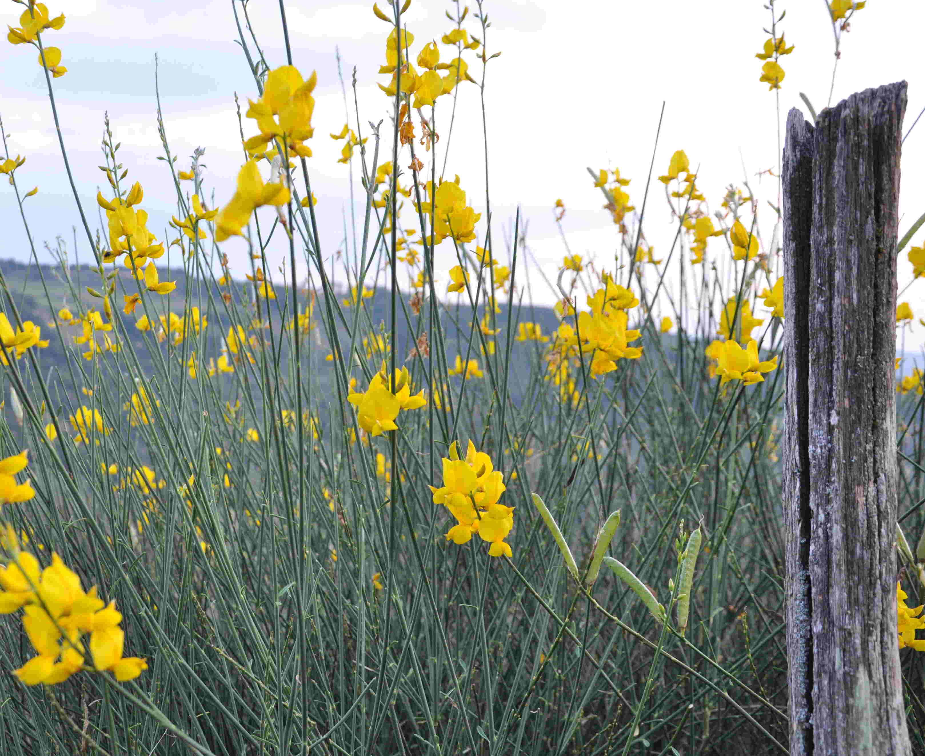 På hösten kan ginstarna remontera med lite färre antal blommor.