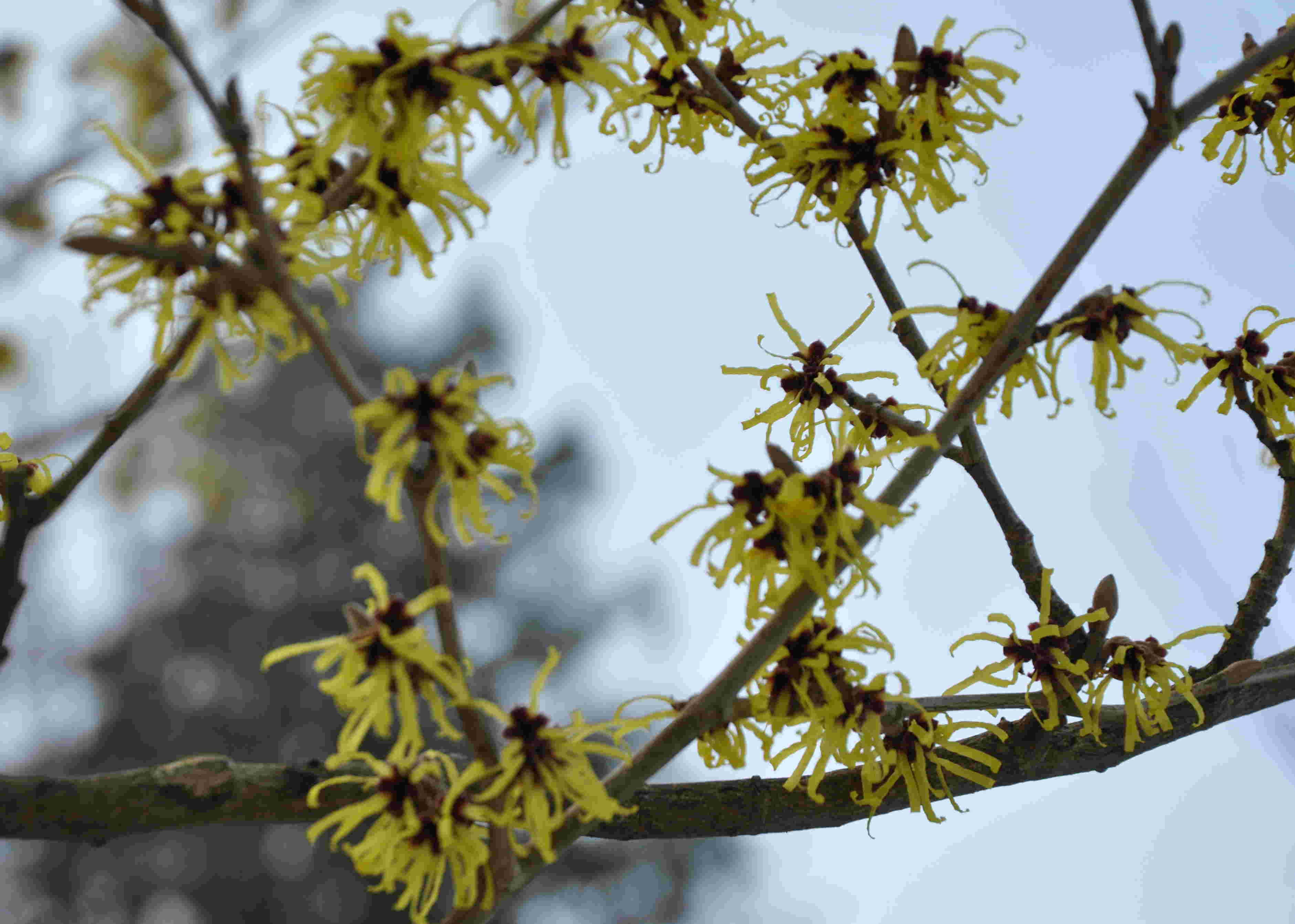 Hybridtrollhassel med stora blommor blommar tidigt.