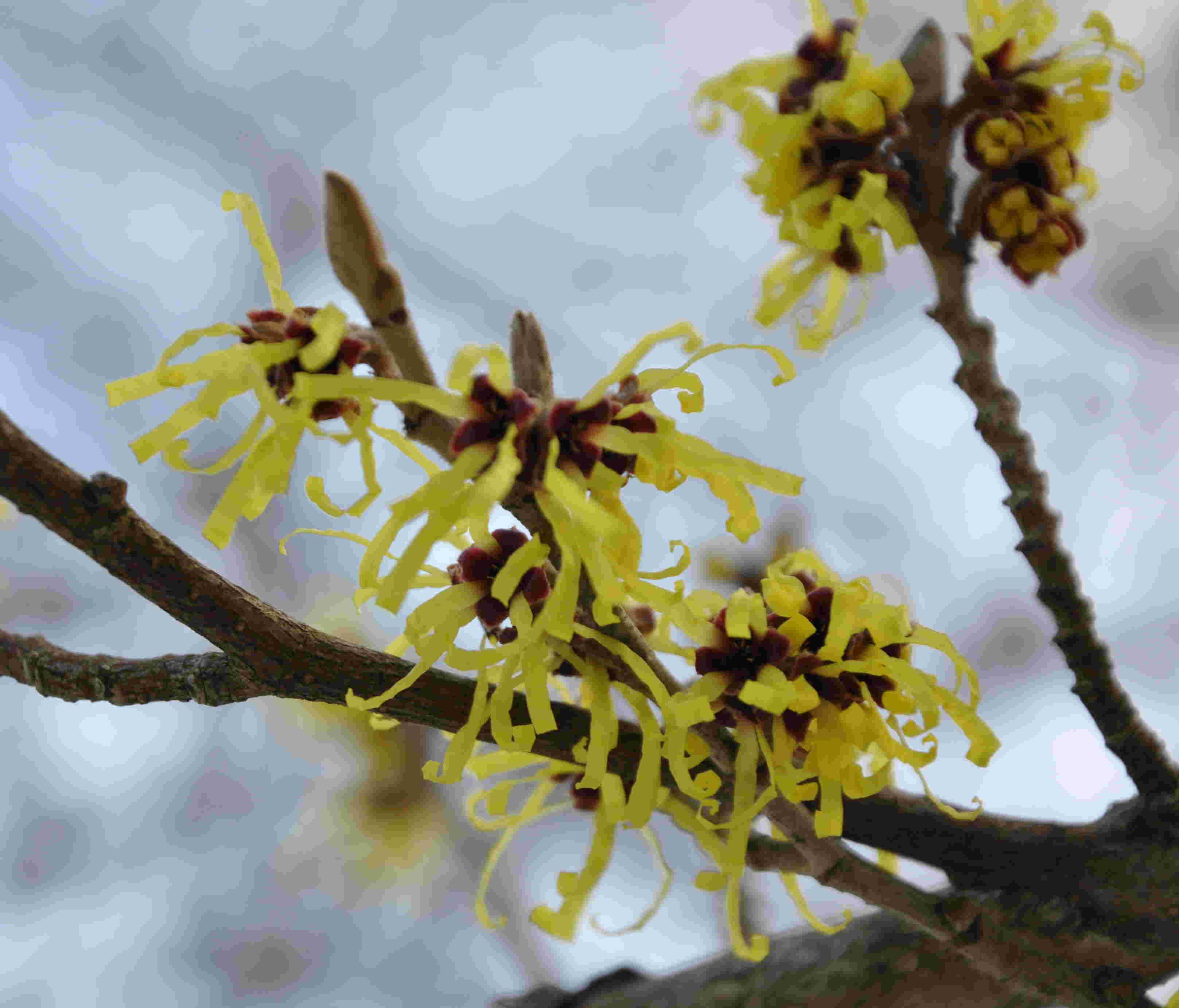 Trollhasselns trassliga blommor syns redan i januari i bästa fall.