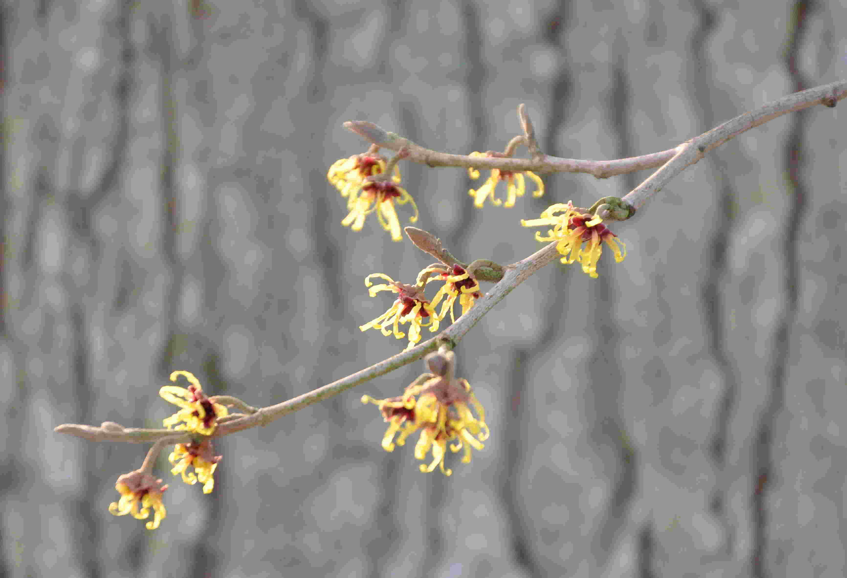Japansk trollhassel har mindre blommor än hybriderna.