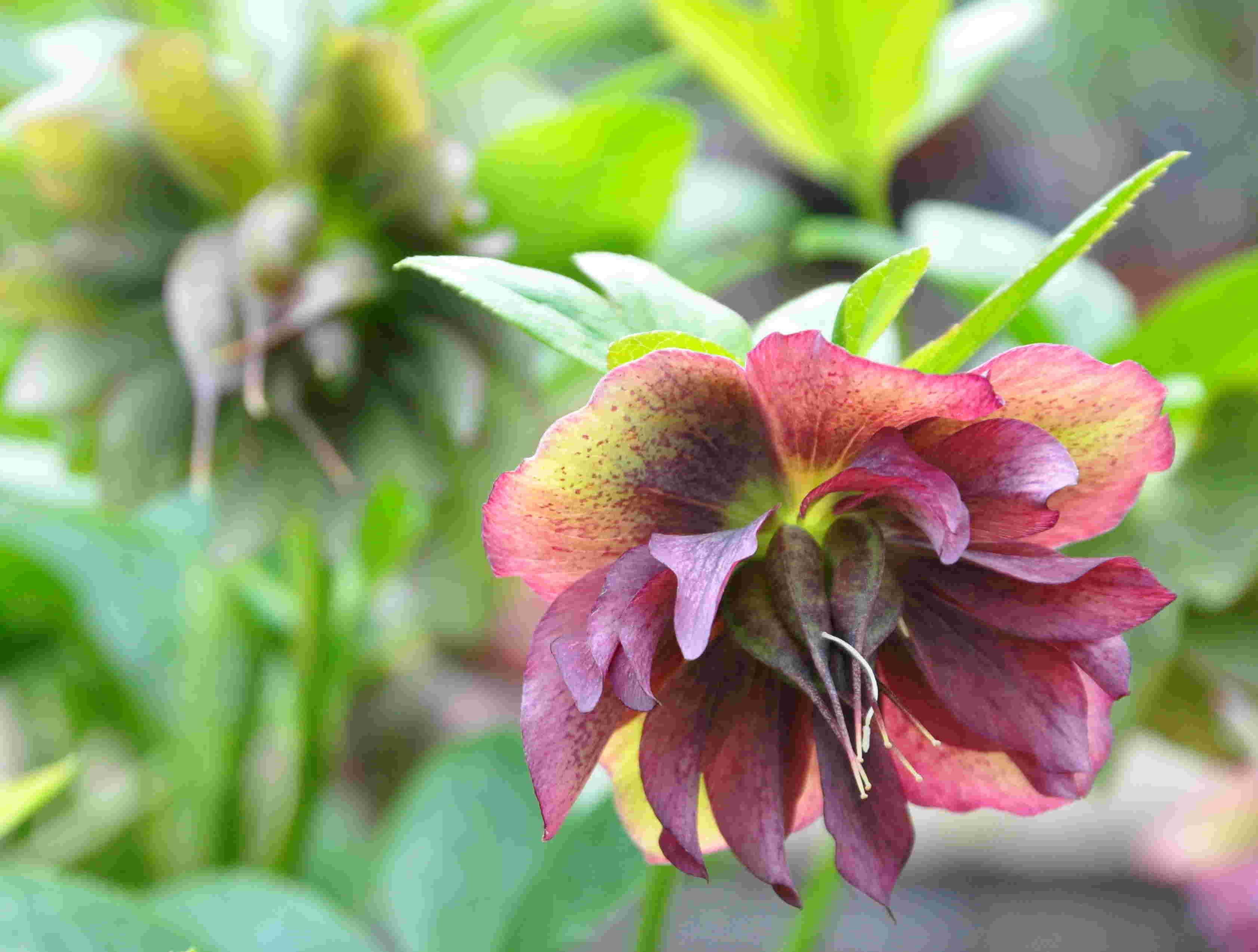 Julrosorna blommar under lång tid och vissa arter börjar redan i december.