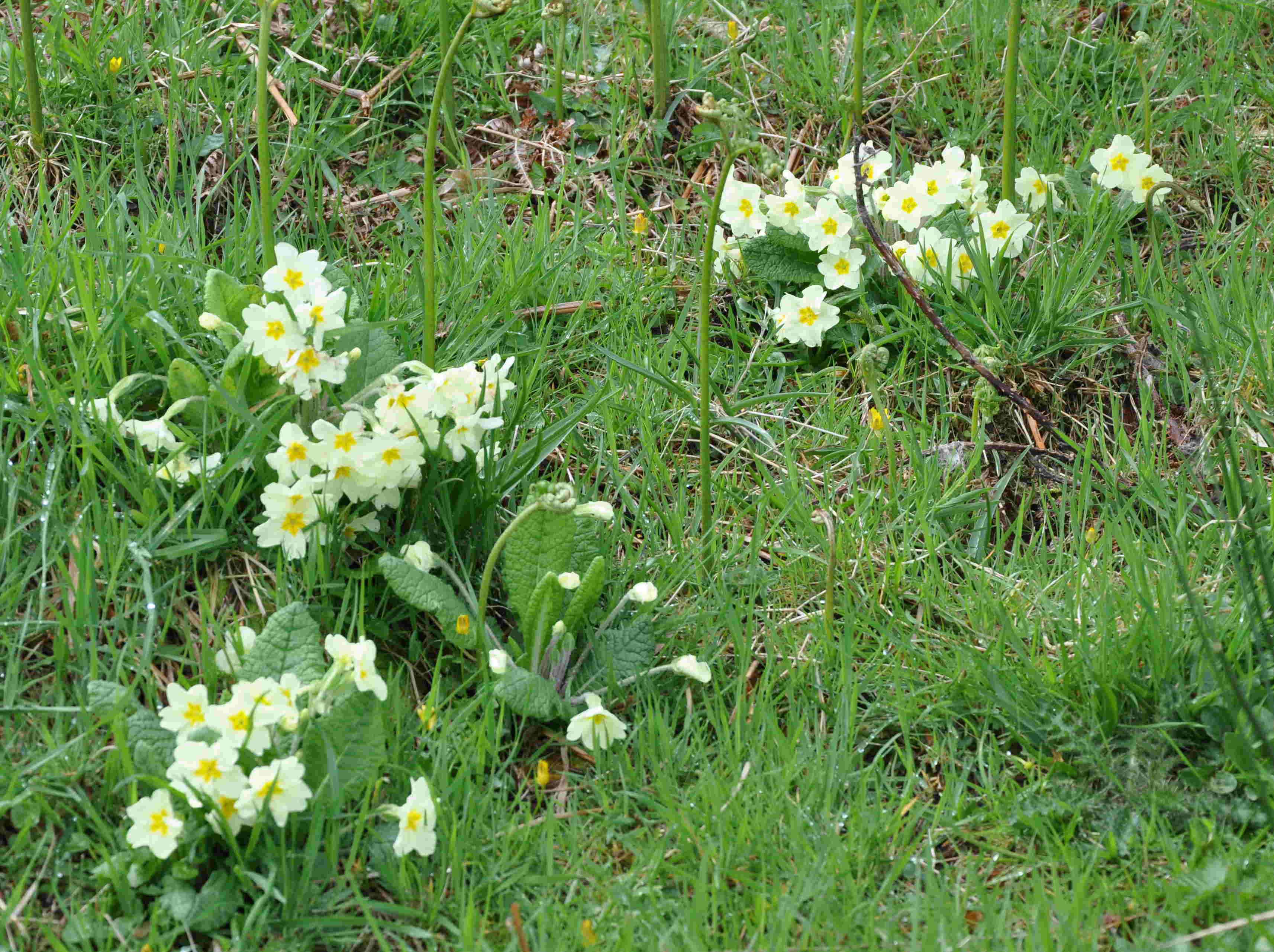 Primulan är en fuktmarksväxt som gillar halvskugga.