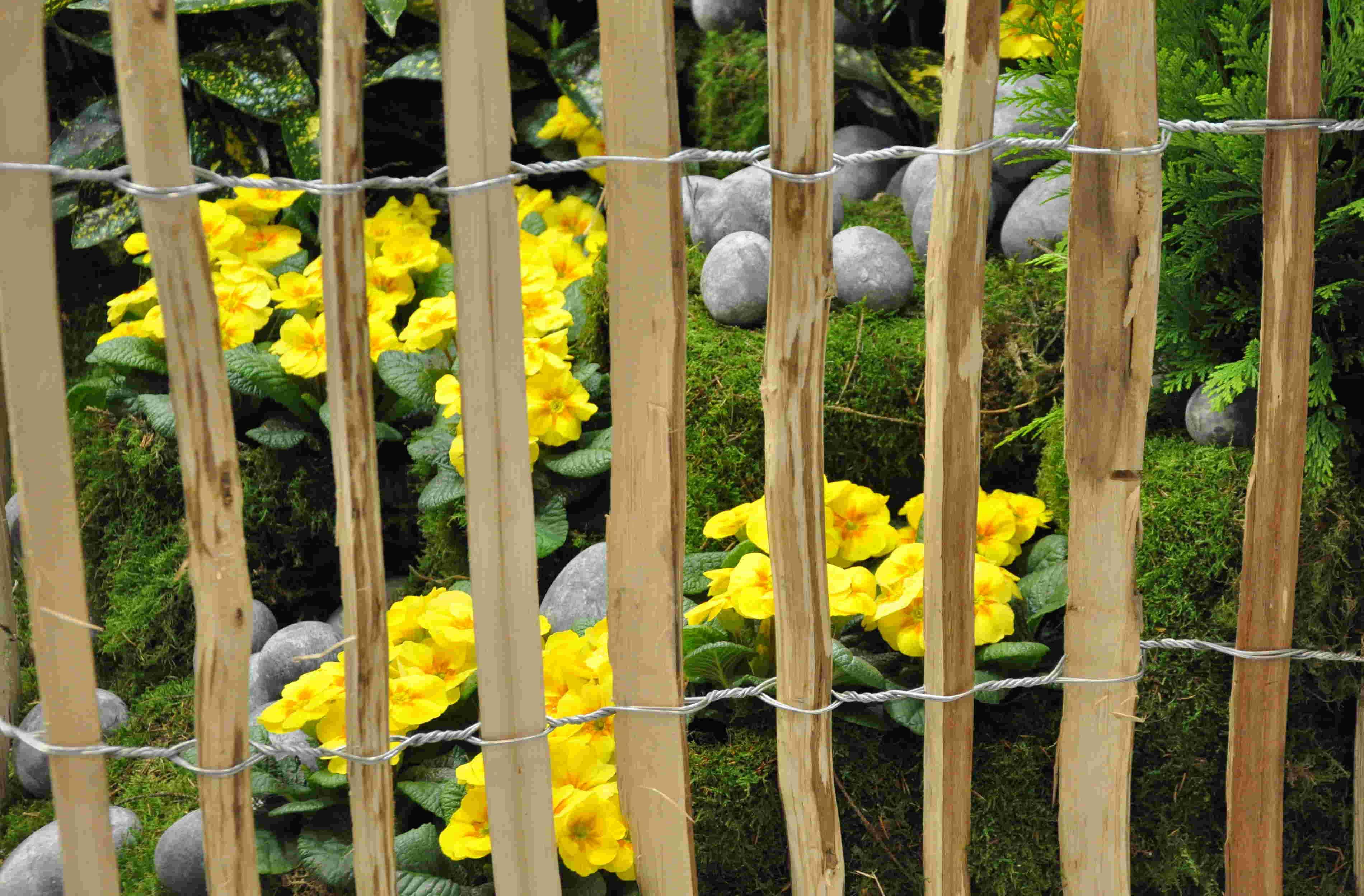 Primulor är lättskötta men kortblommande växter.