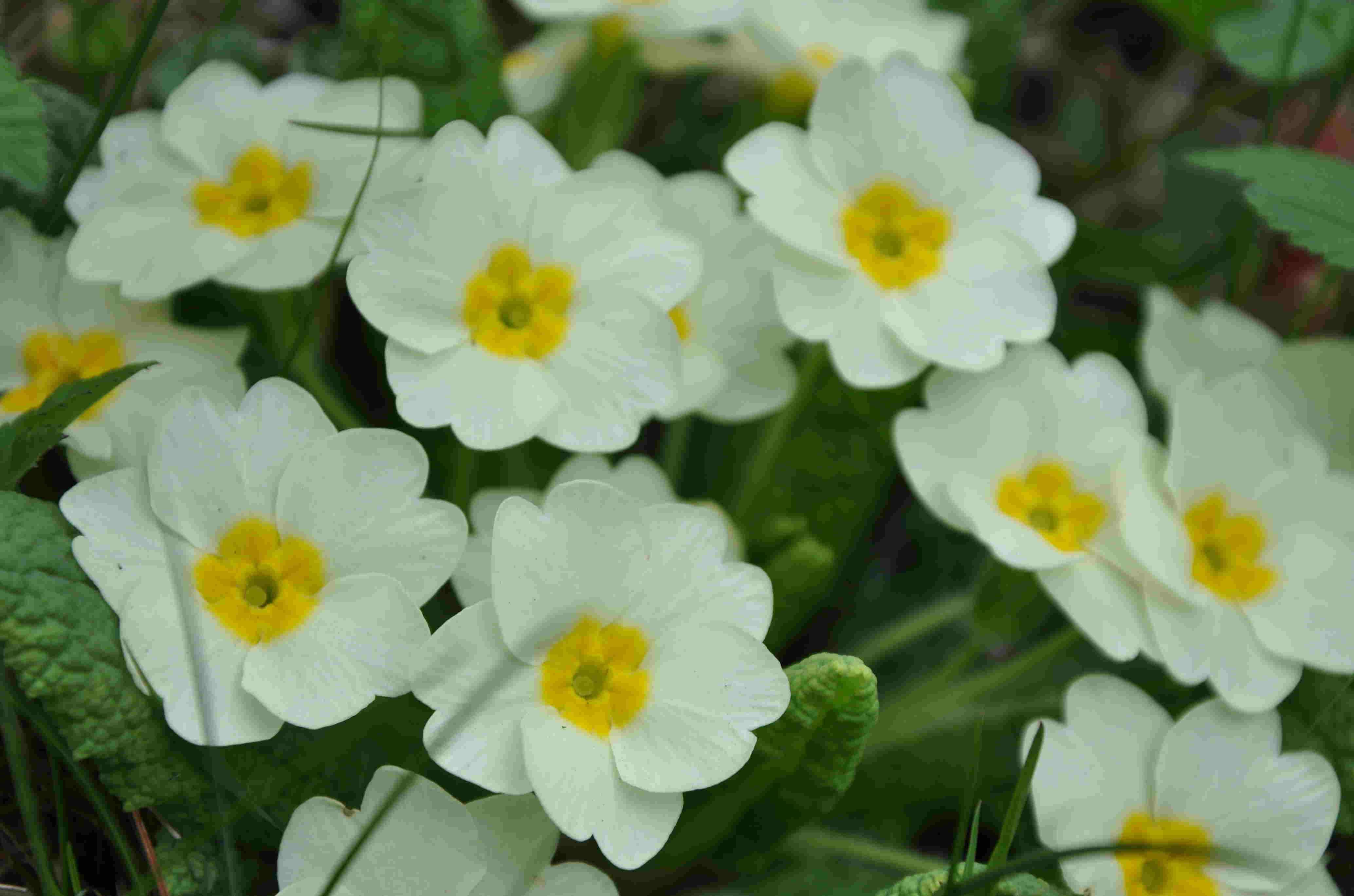 Jordvivan kan förvilda sig i trädgården om den får en lucker och fuktig jord.