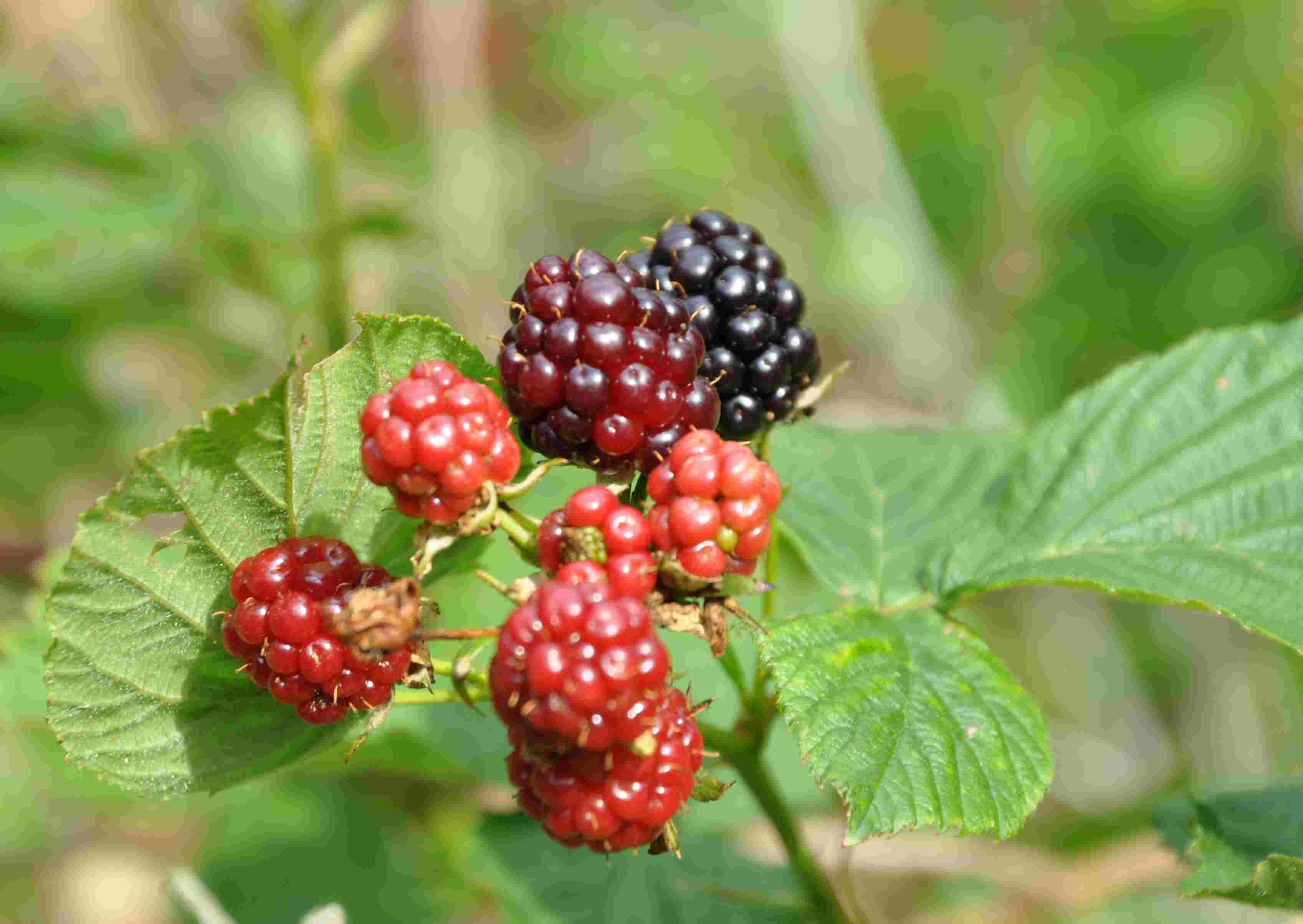 Vilda bär kan också angripas av den nya fruktflugan och sprida den vidare.