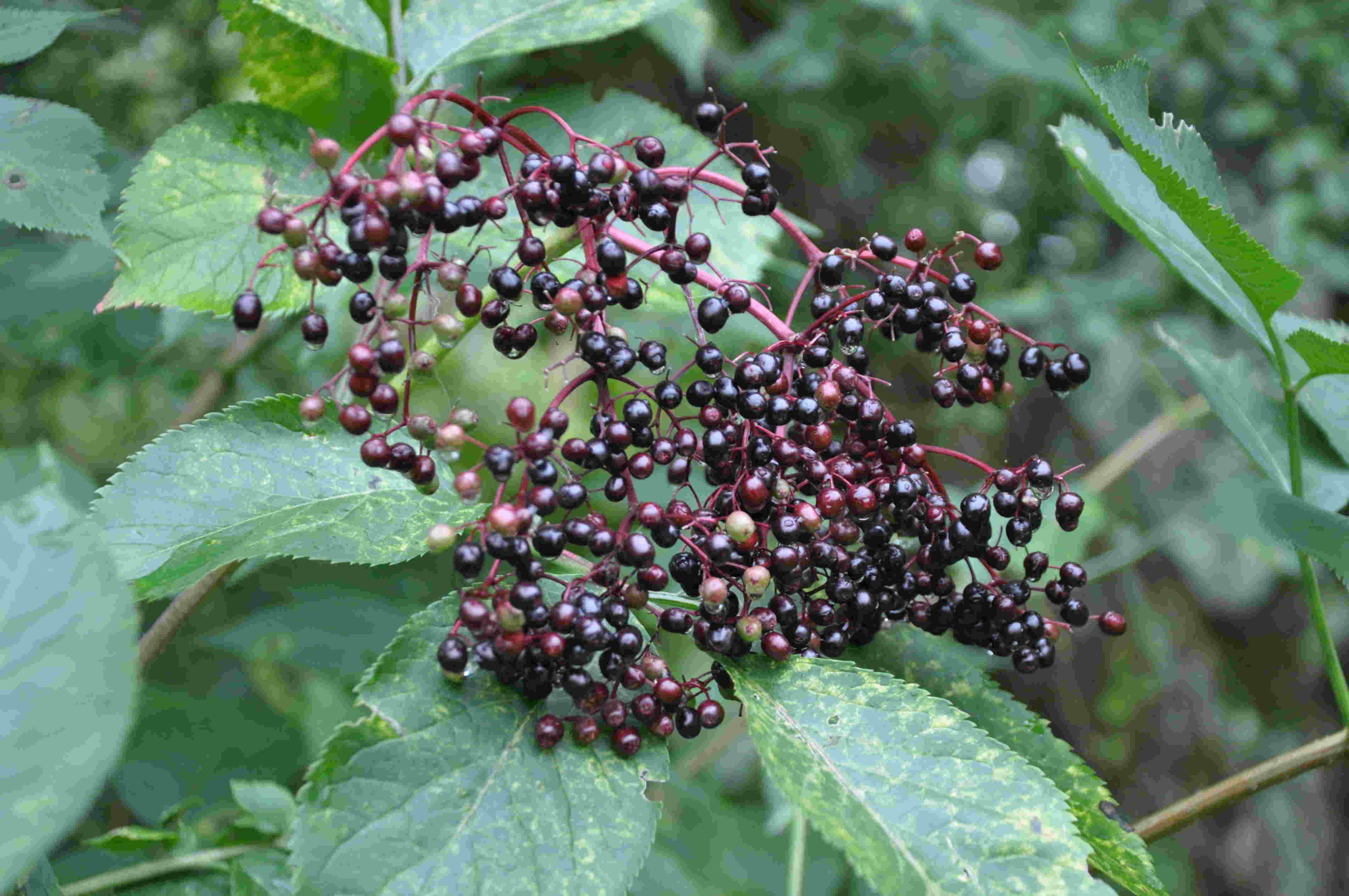 Även vilda bär som fläder och try kan angripas av den nya fruktflugan.