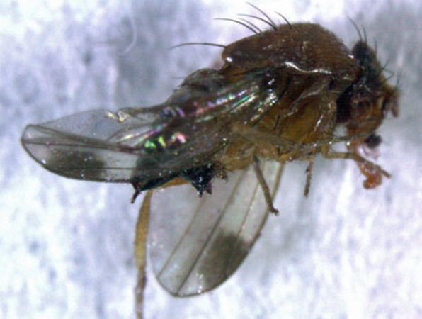 Skadeinsekten angriper växande frukt och bär.
