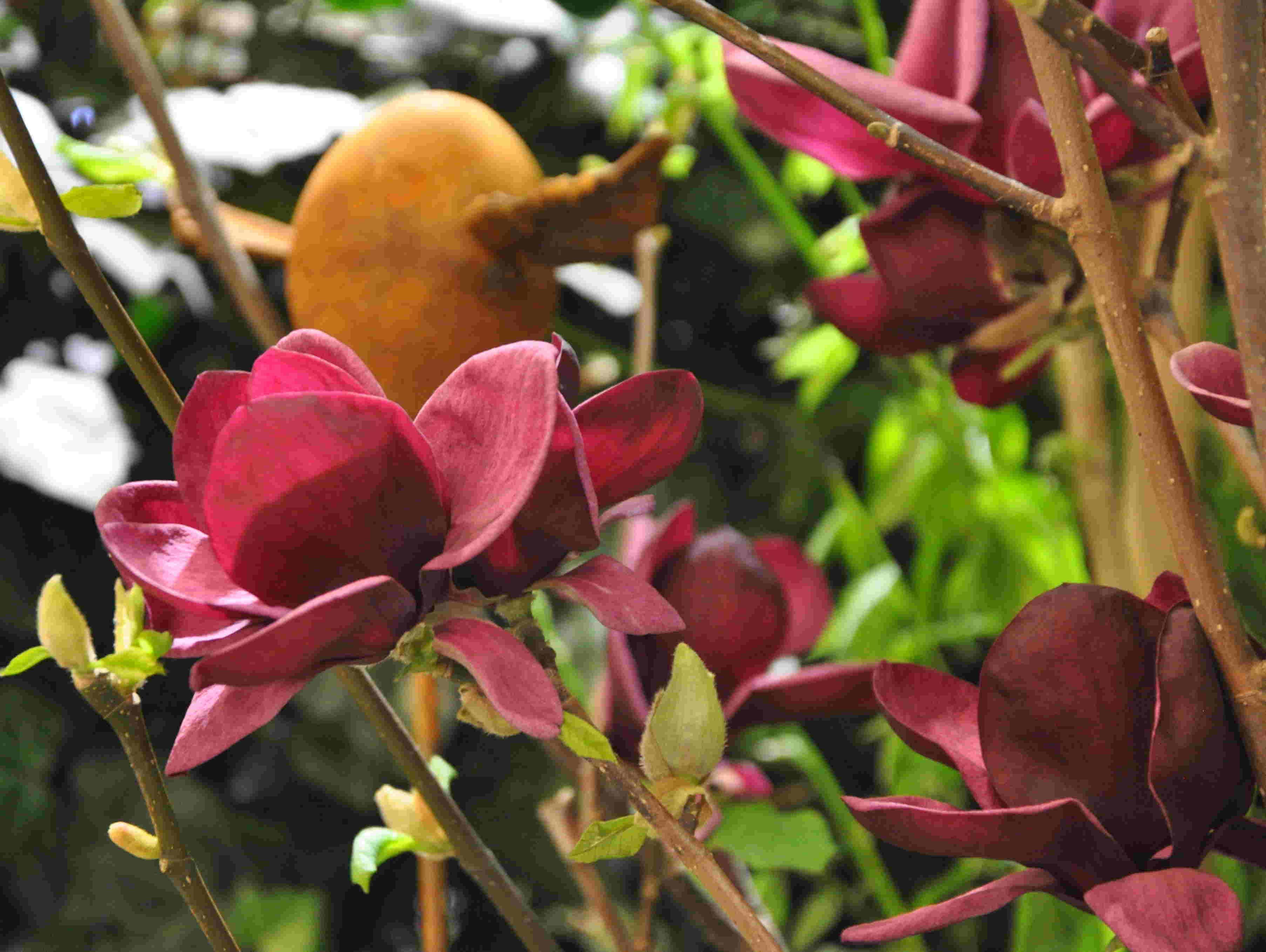 Magnolior är härdiga i ca zon 1- max 3 i Sverige.