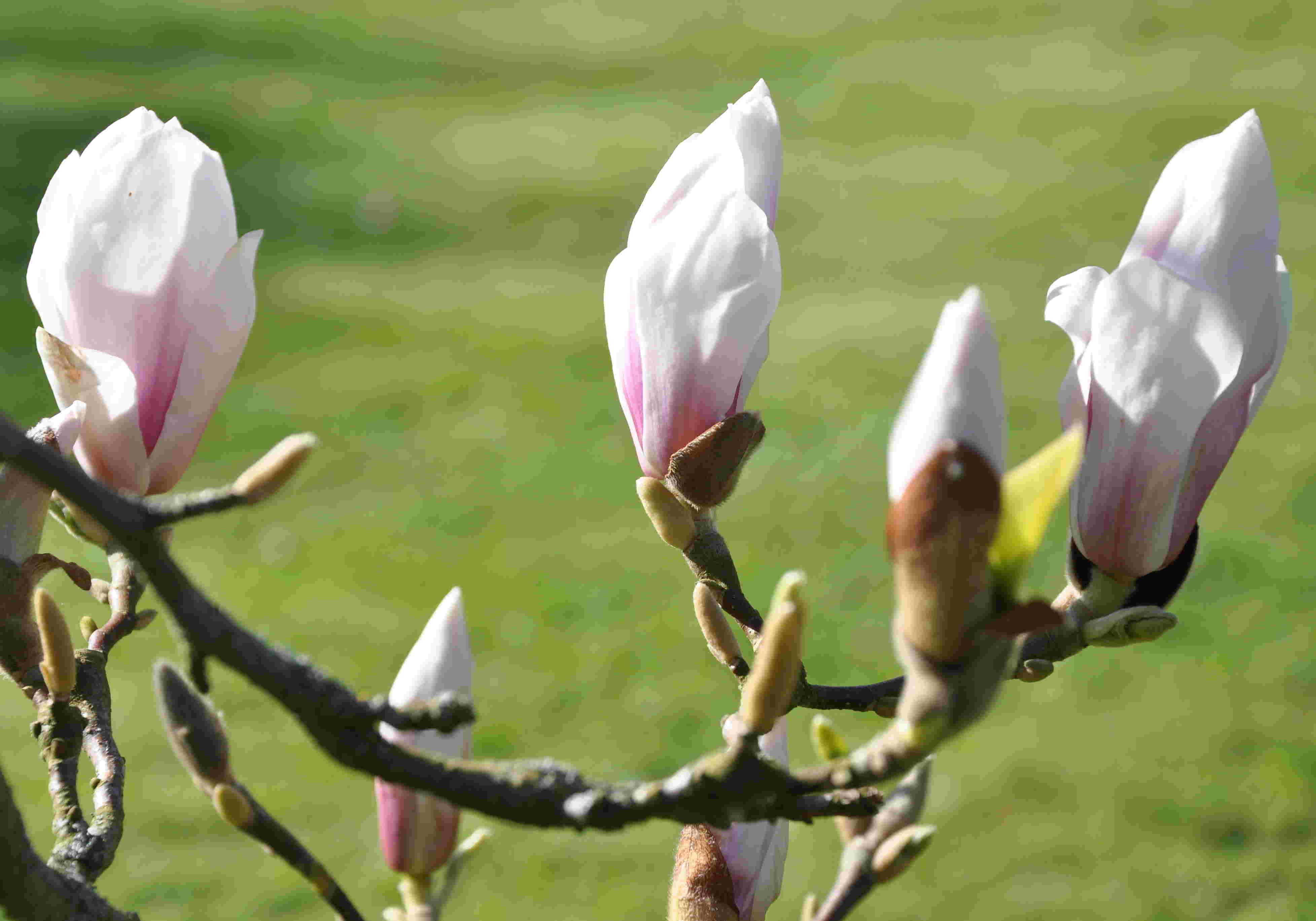 Mgnoliorna har stora knoppar och breda blommor som utslagna.
