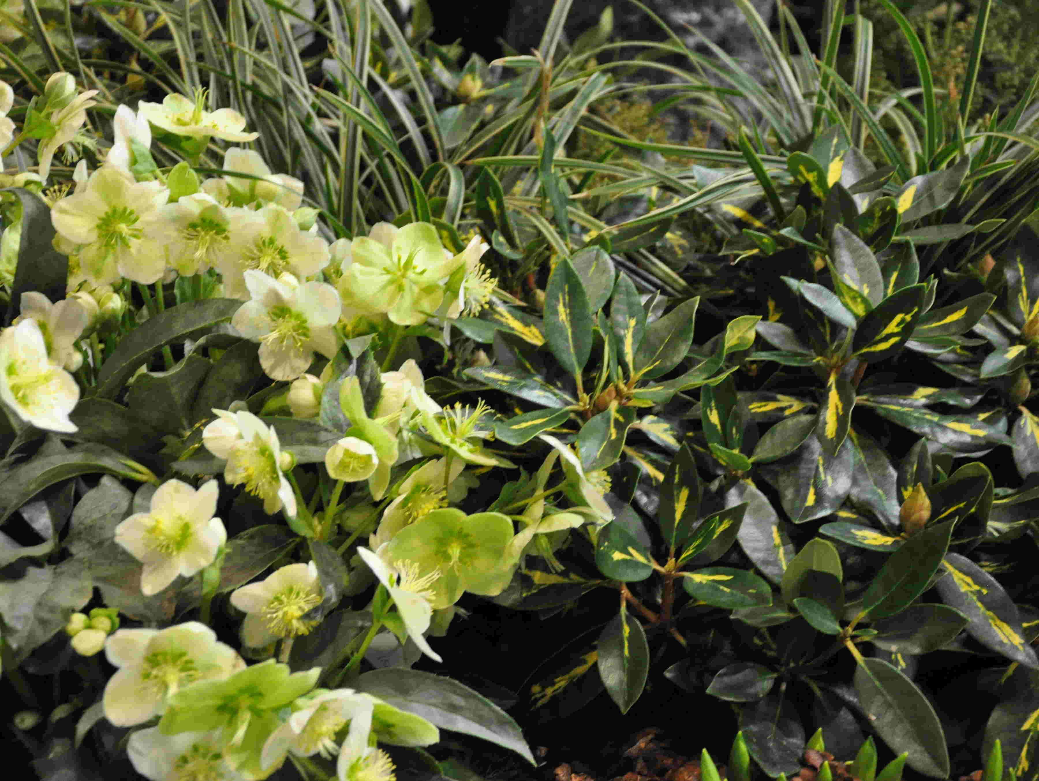 Brokbladig rhododendron lyser upp i mörka hörn.
