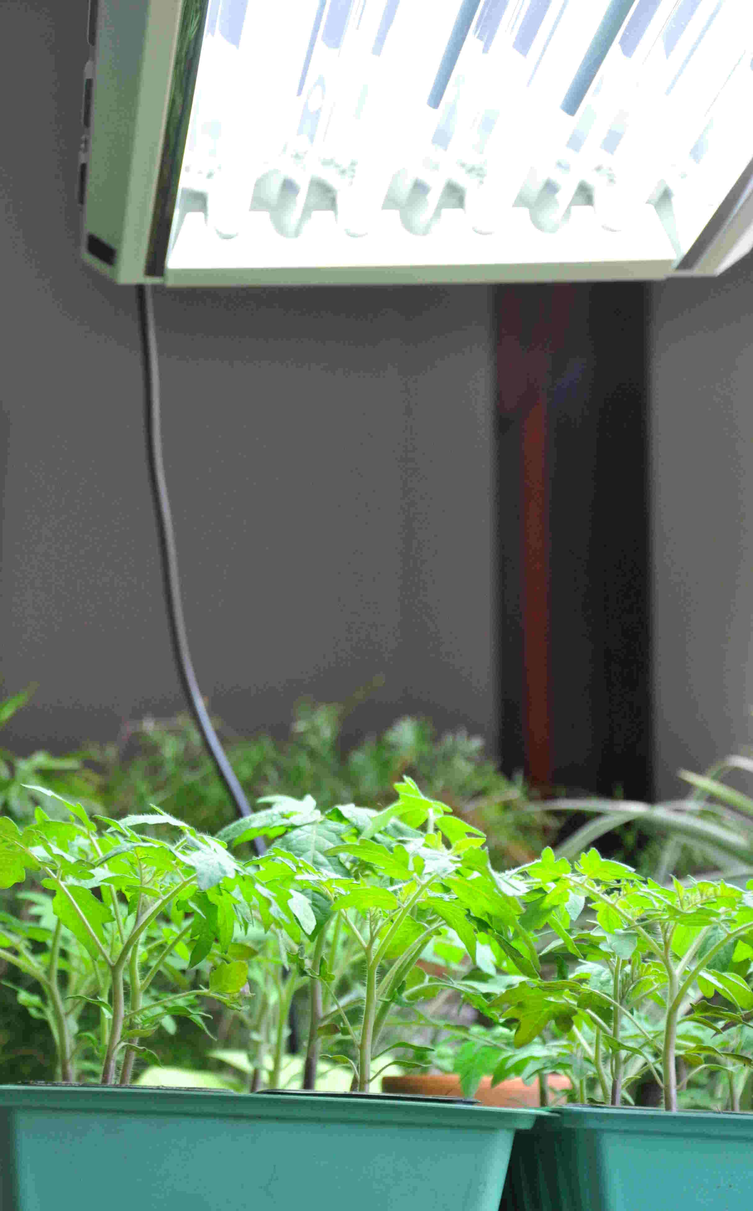 Extra växtbelysning behövs för att odla fröplantor.