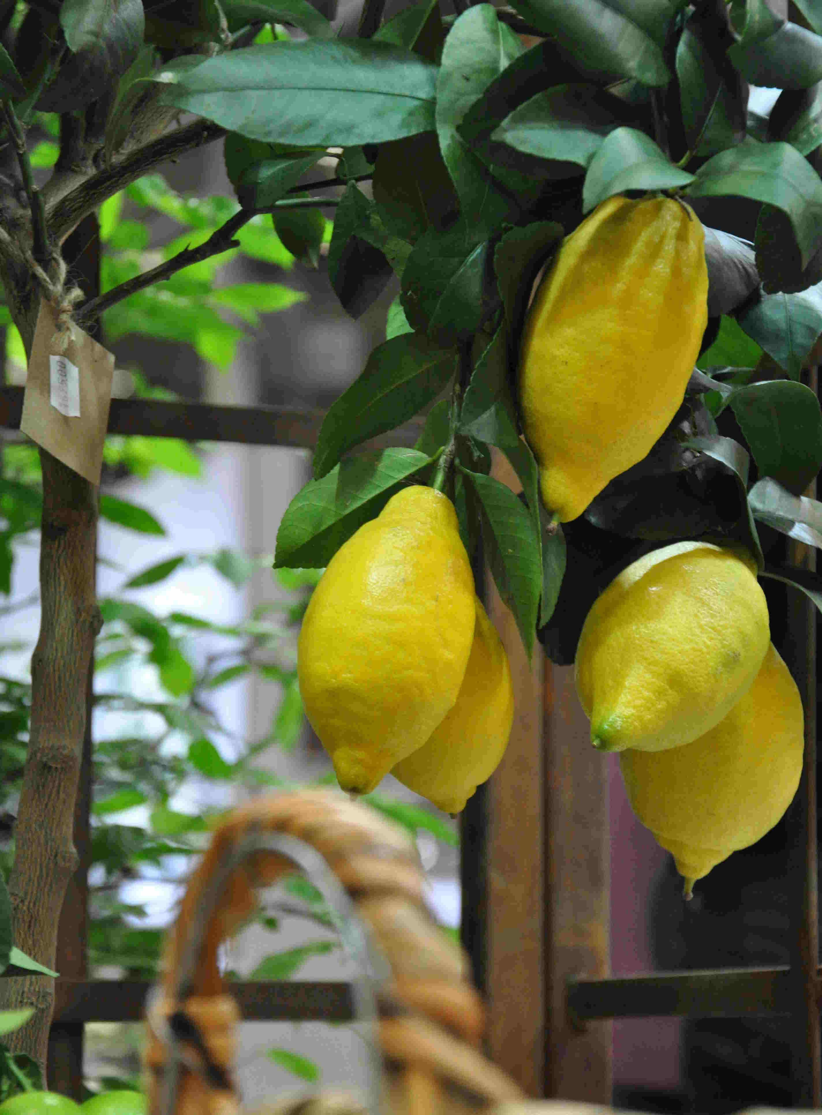 Citronträden kräver jämn vattning med citrusgödsel.