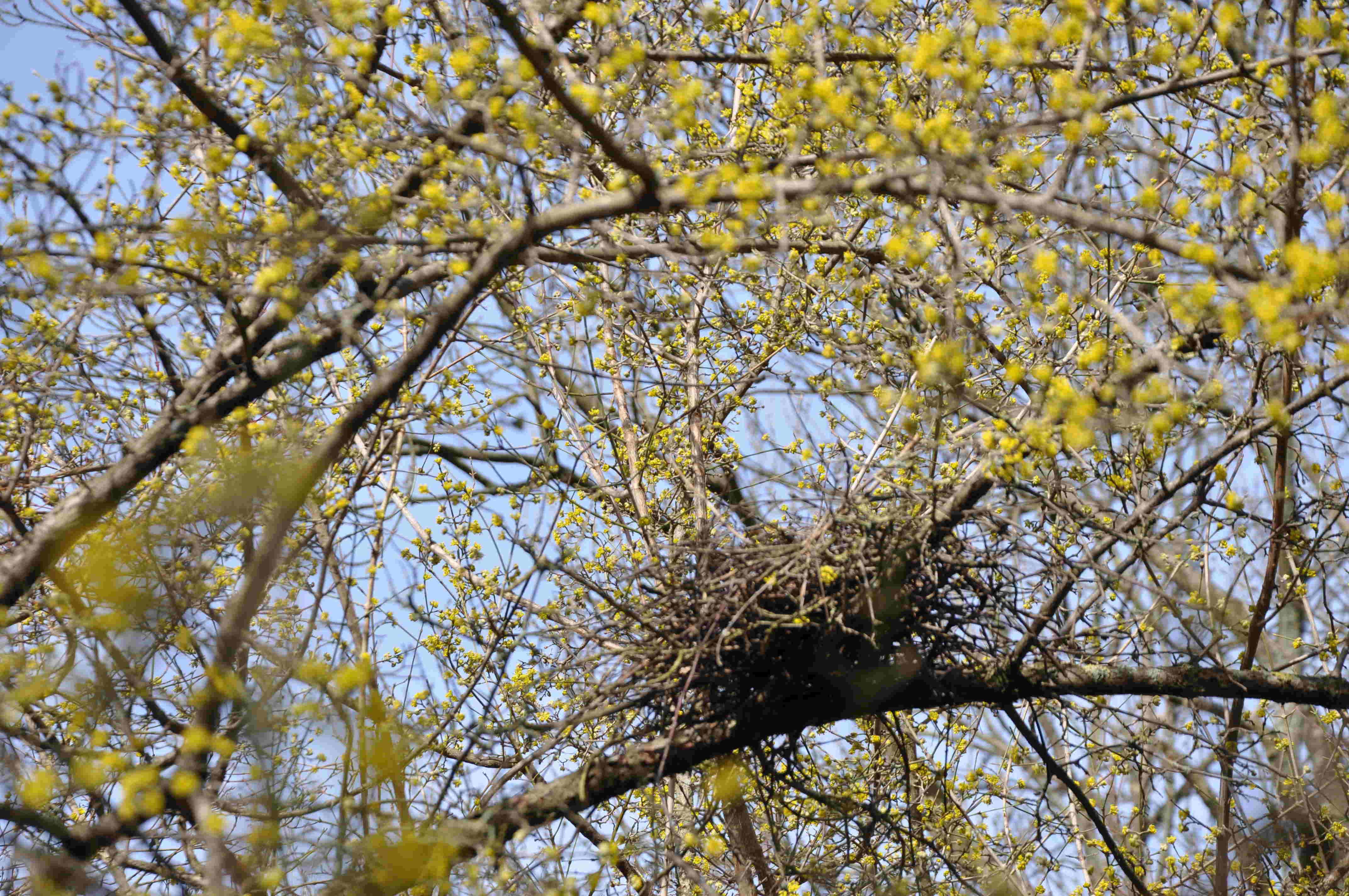 Fåglarna trivs i skyddet av det täta grenverket hos körsbärskornellen.
