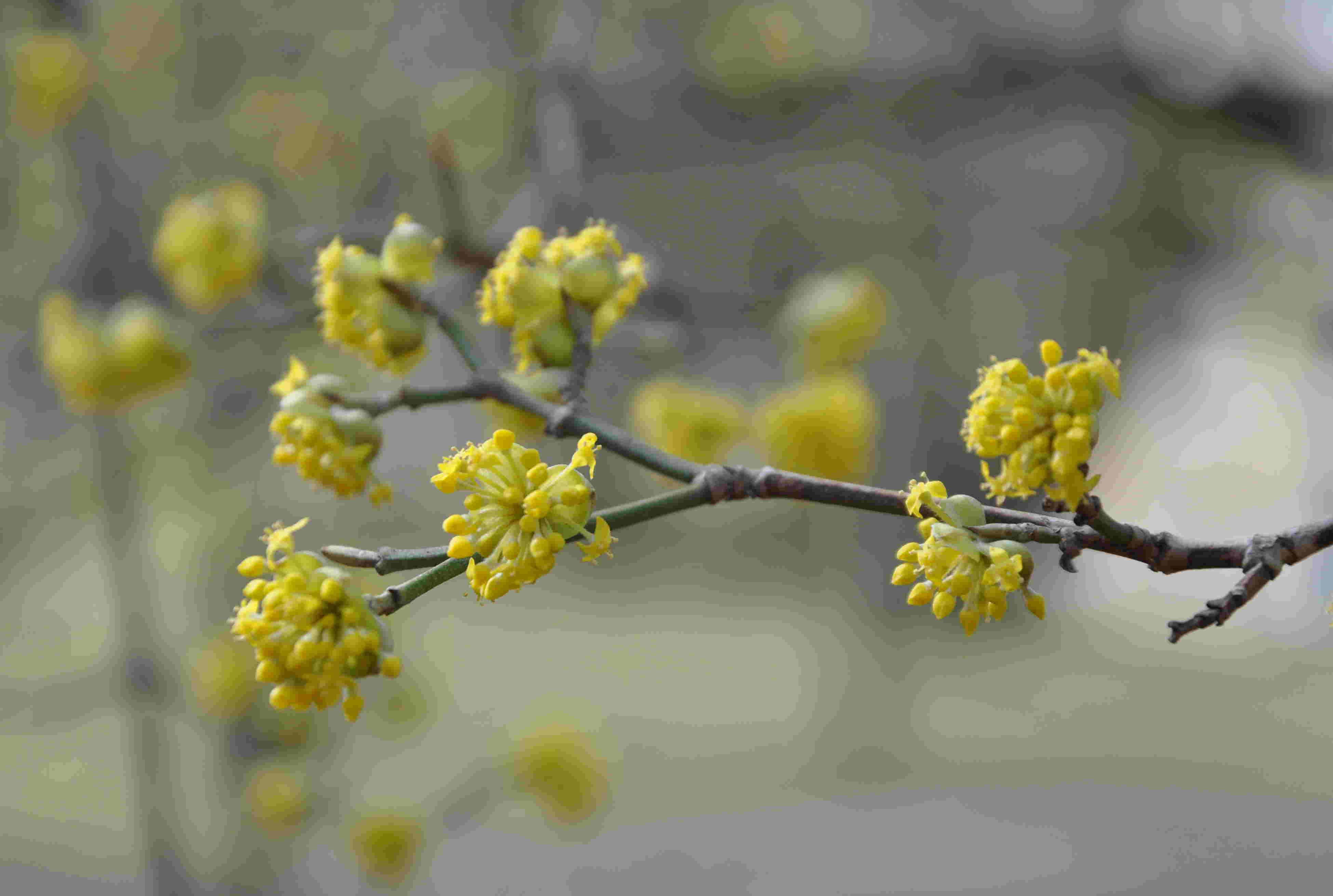 Gulblommande buskar finns det flera om våren.