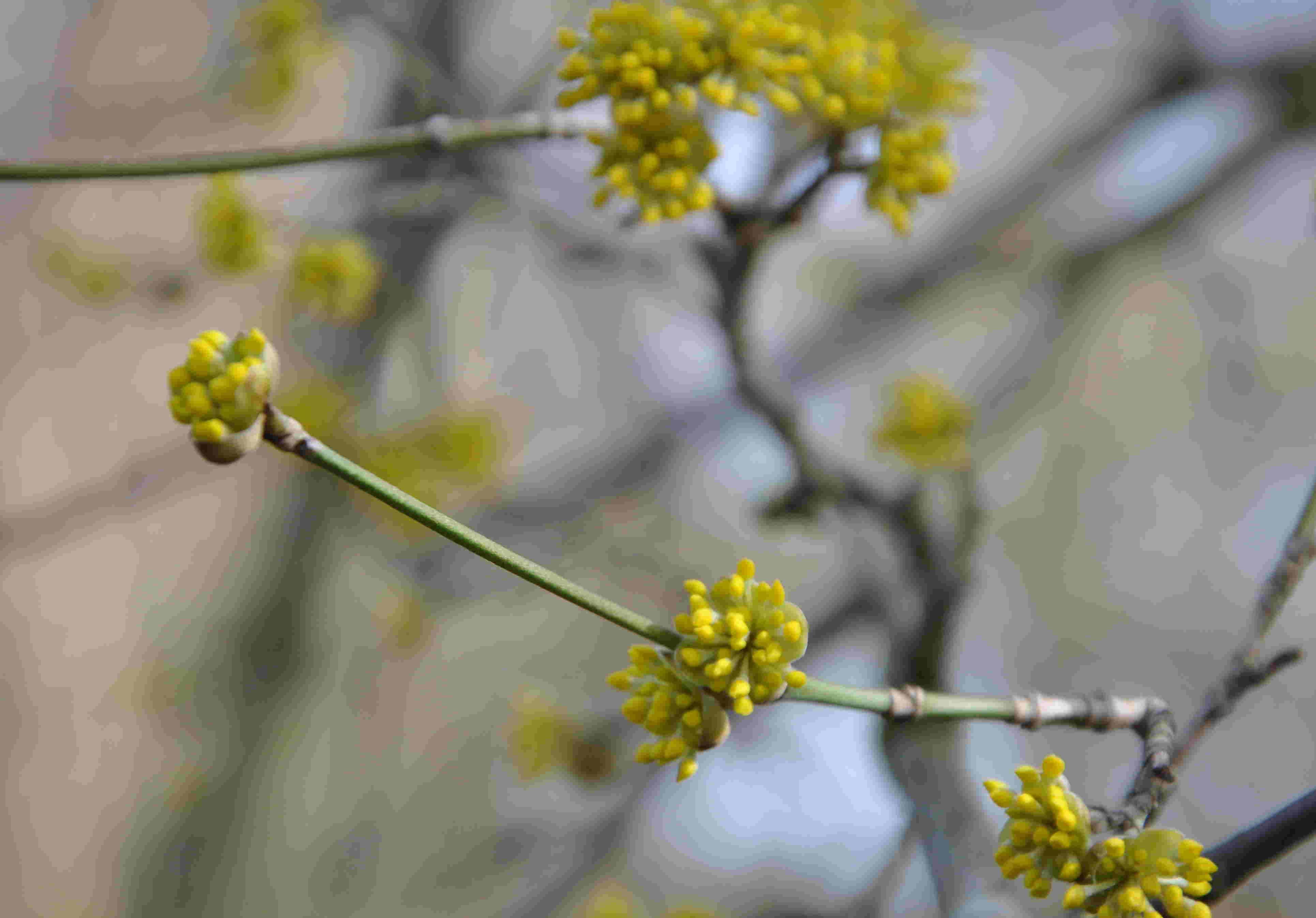 Körsbärskornellen är en av årets tidigaste blommande buskar.