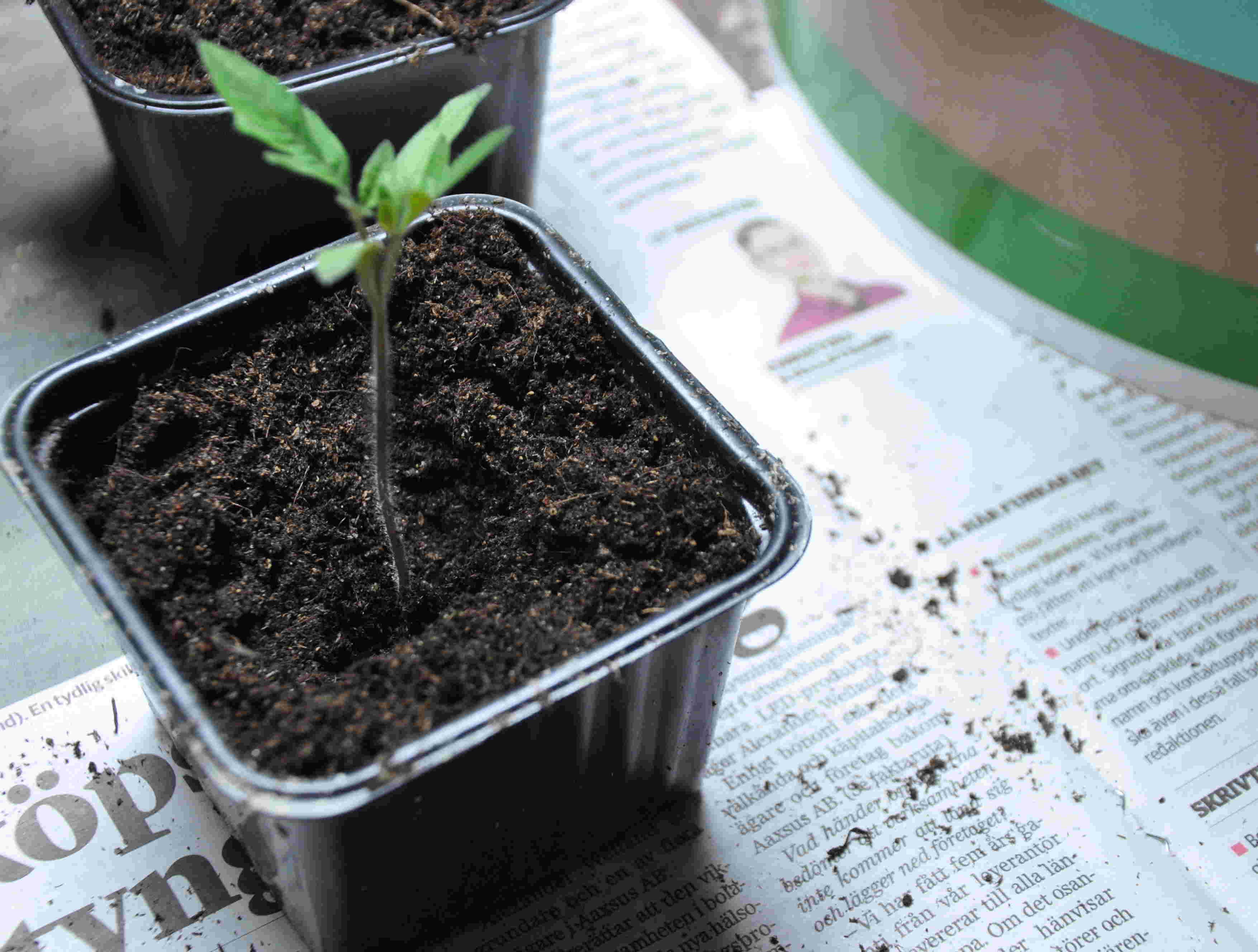 Tomatplantor planteras djupt vid omskolning för att bilda nya rötter.