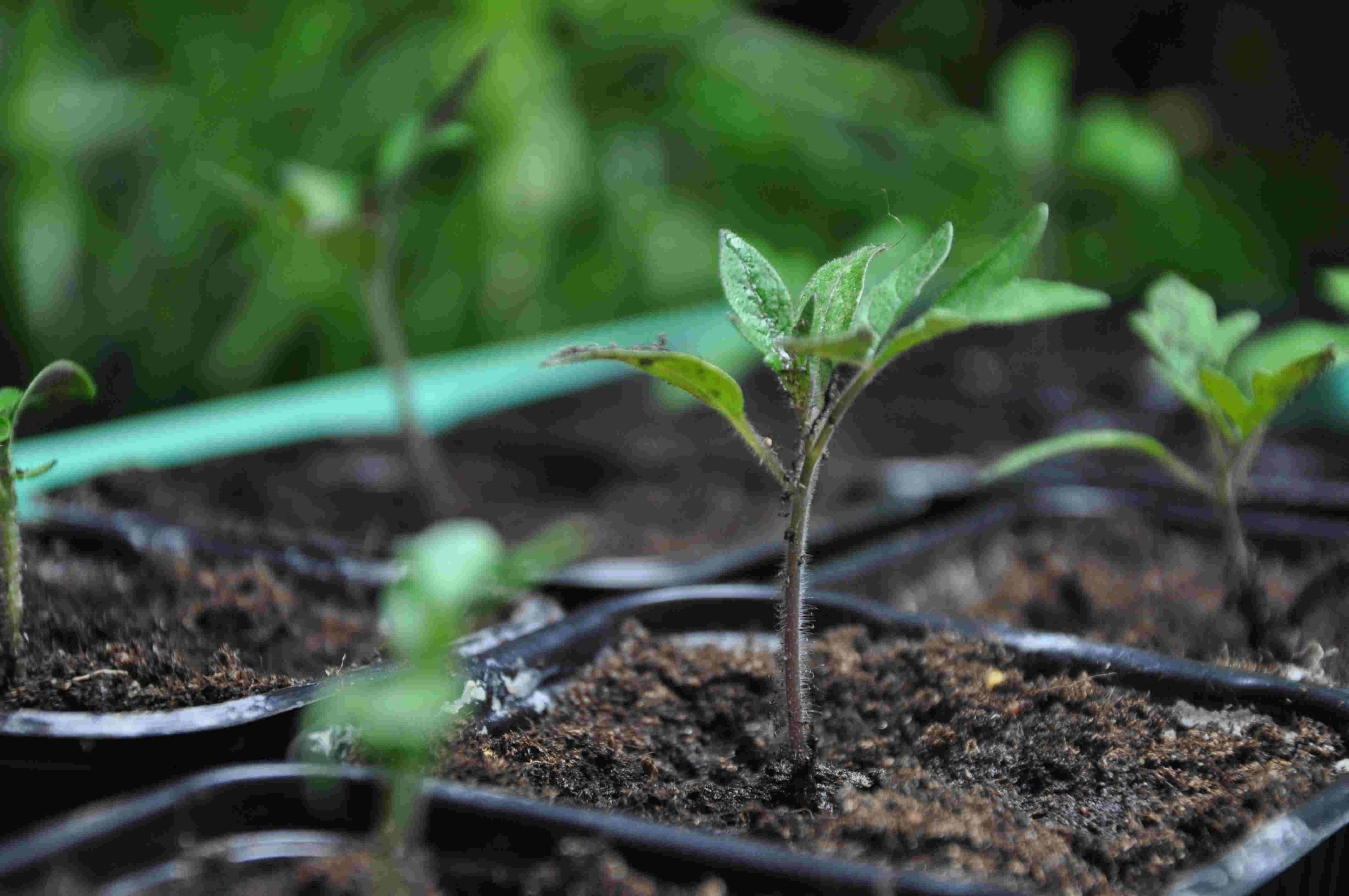 Tomatplantor skolas om till större krukor an efter de växer.