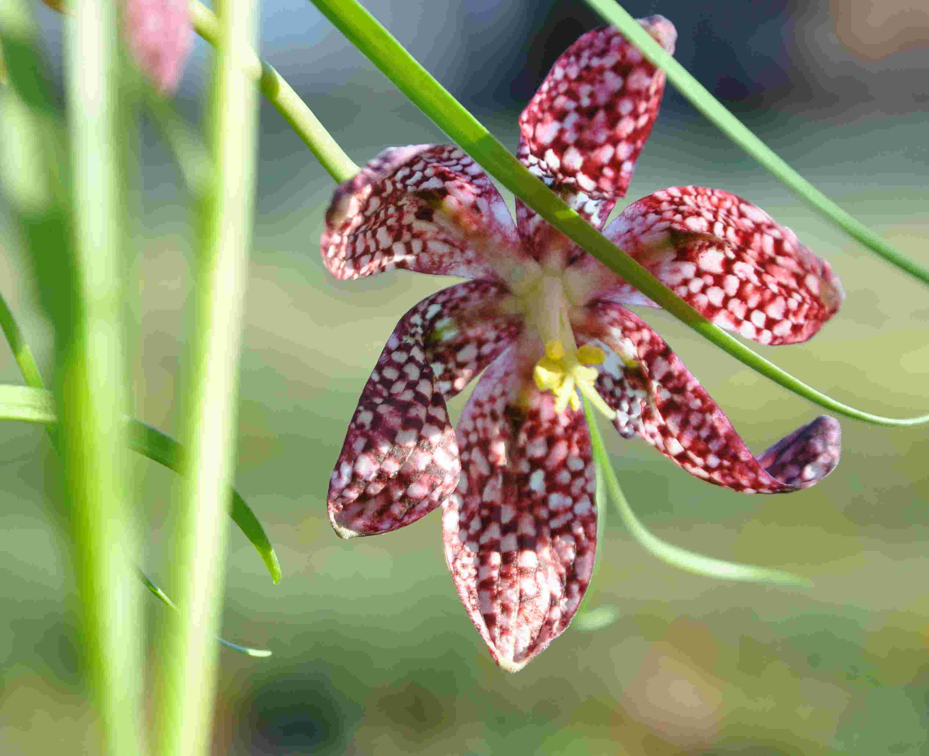 Kungsängsliljan växer bäst i vårfuktiga miljöer på väldränerad jord.