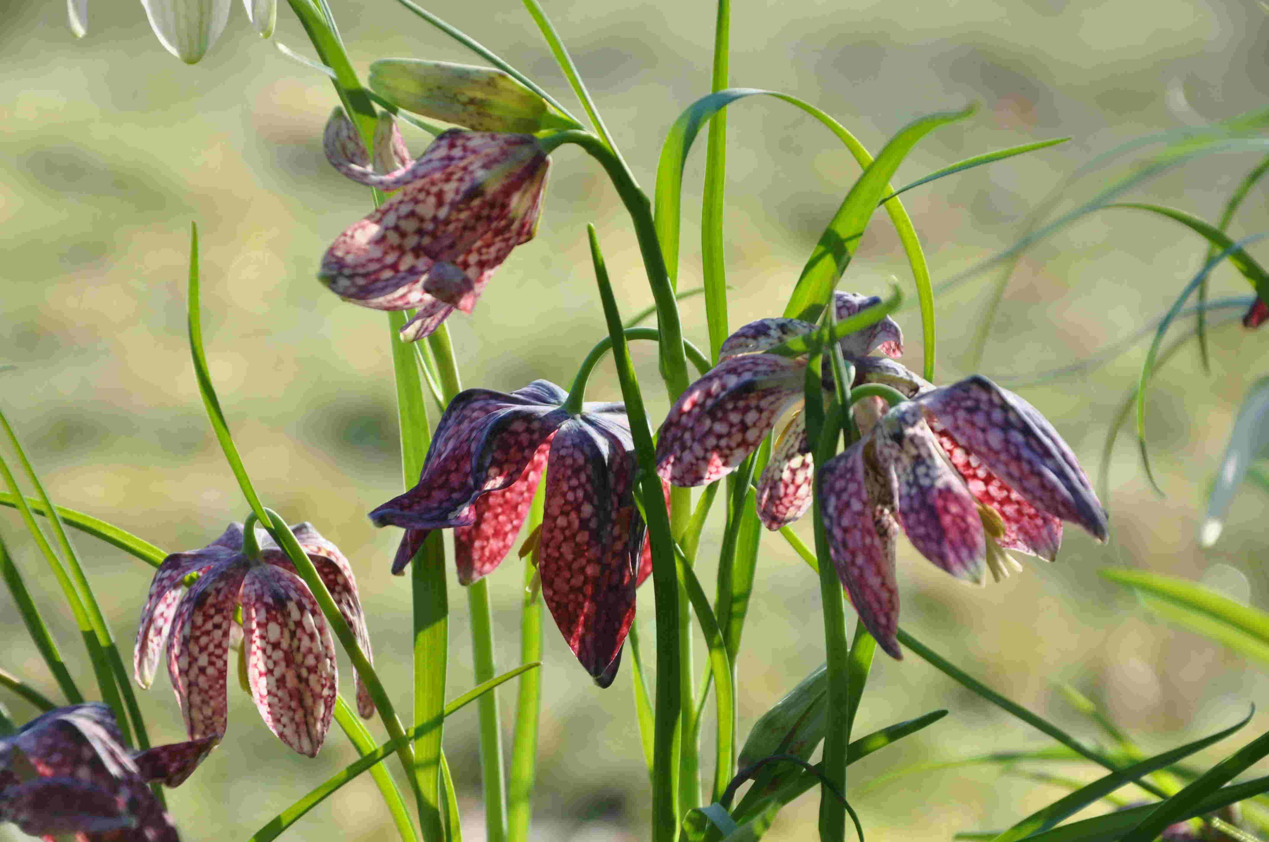 Kungsängsliljan kan köpas i kruka nu på våren och planteras ut därefter.